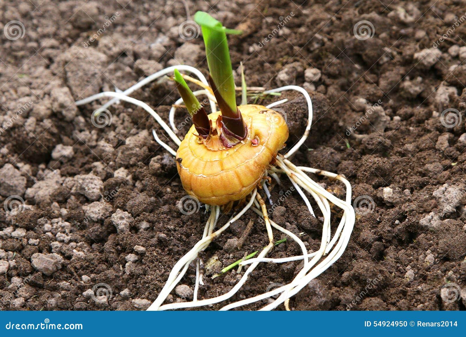 Как получить семена гладиолуса и можно ли вырастить цветы из семян 53