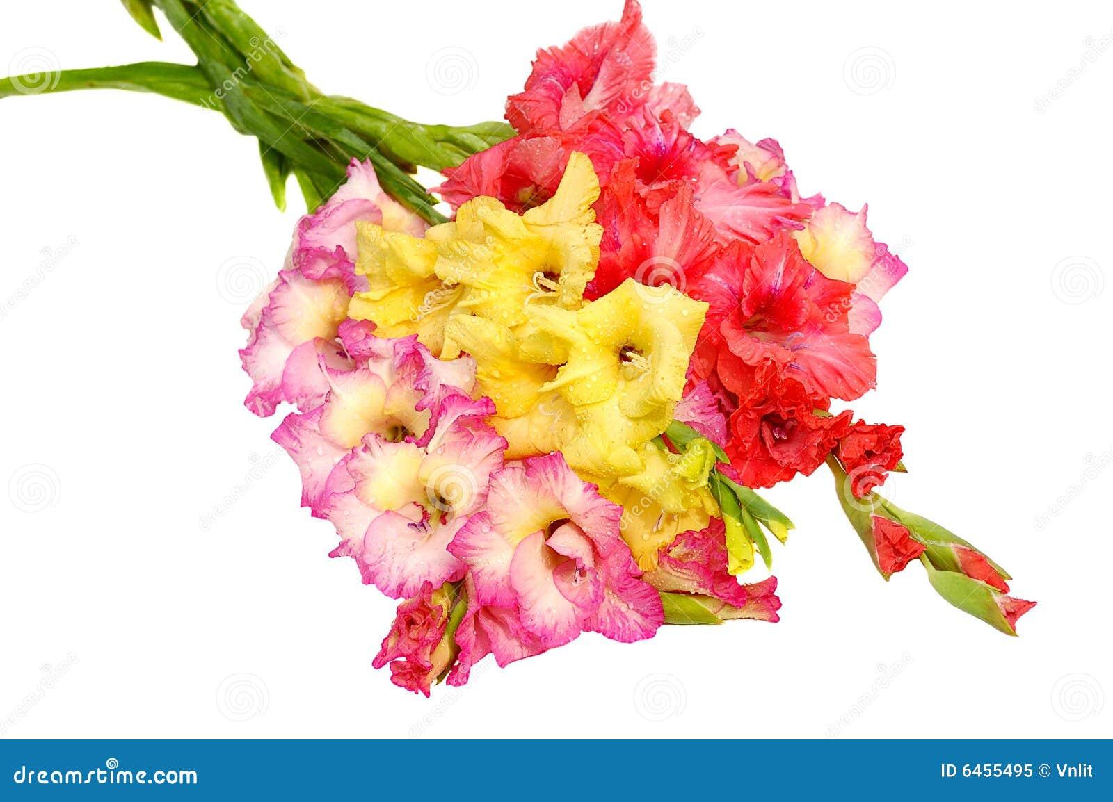 Gladioluses wiązek