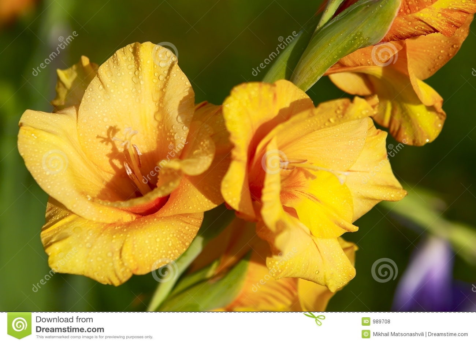 Gladiolusyellow