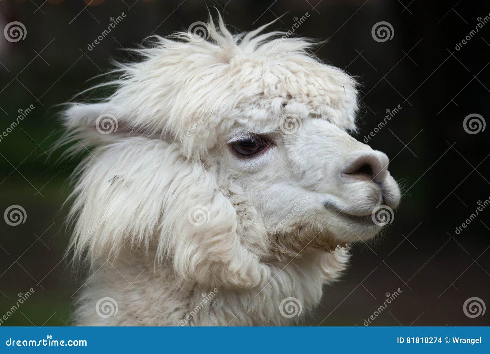 Glama лама ламы