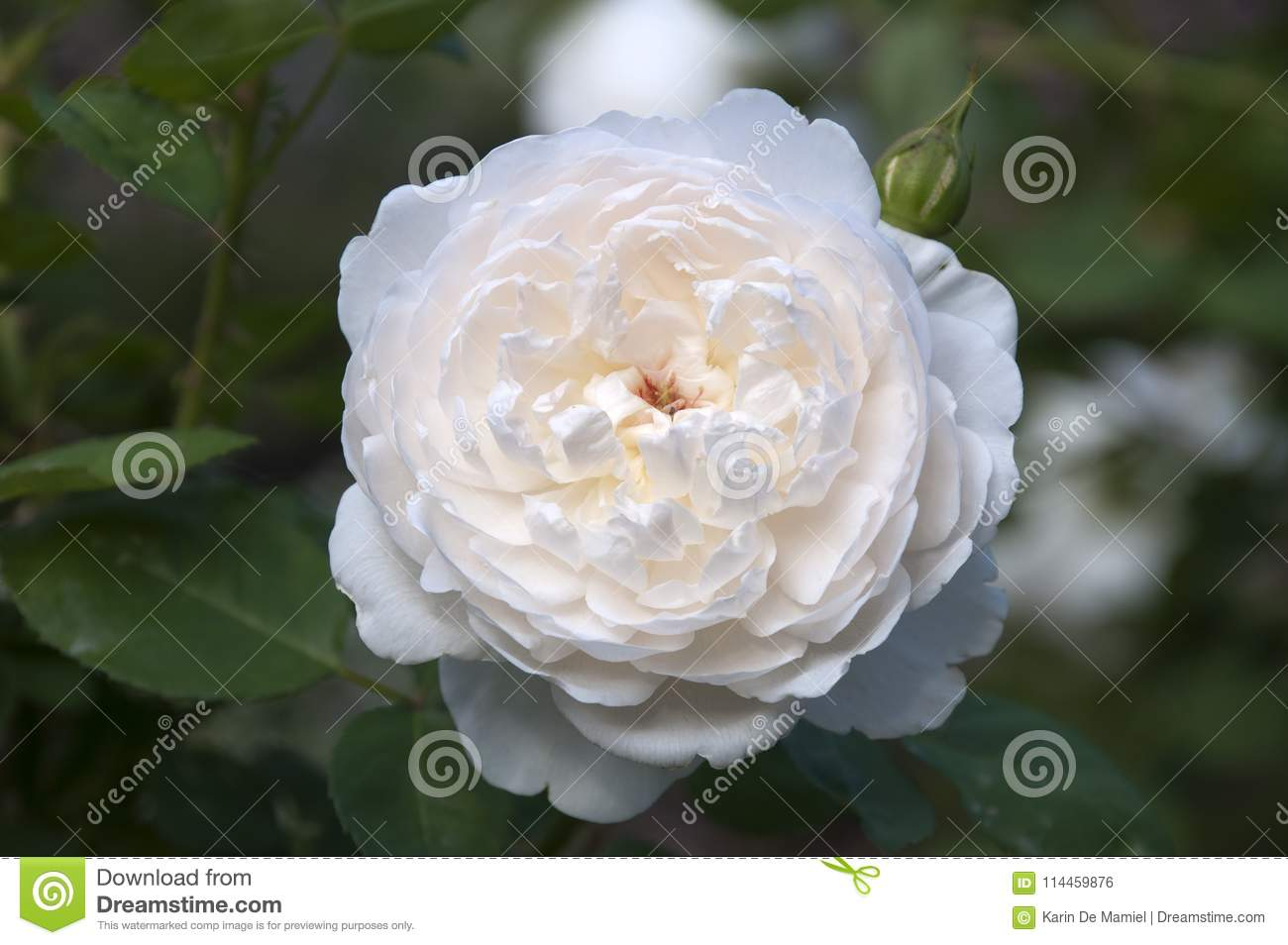 Glamis Castle A Rose With White Flowers Stock Photo Image Of
