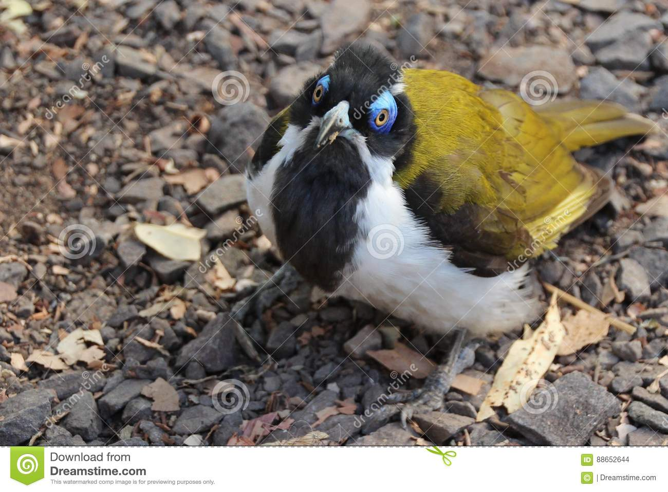 The glance of the Blue-faced honeyeater
