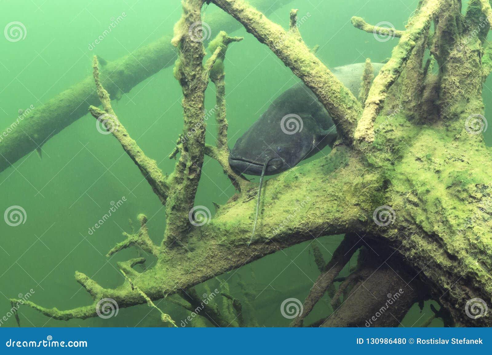 Glanis del Silurus del siluro europeo de los pescados de agua dulce bajo el agua