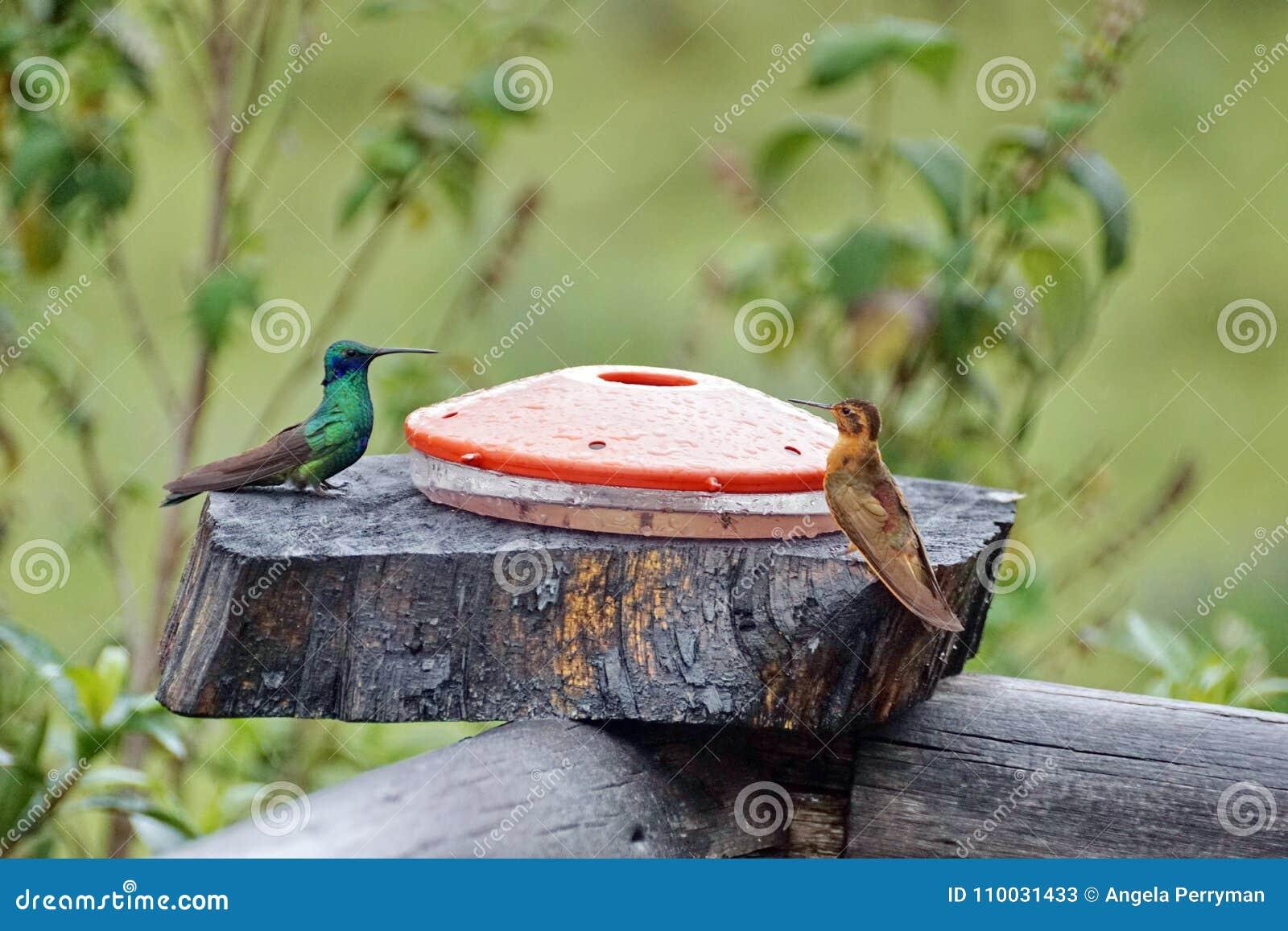 Glanzende zonnestraal en het Fonkelen violetear kolibries bij een voeder in de Ecologische Reserve van Antisana