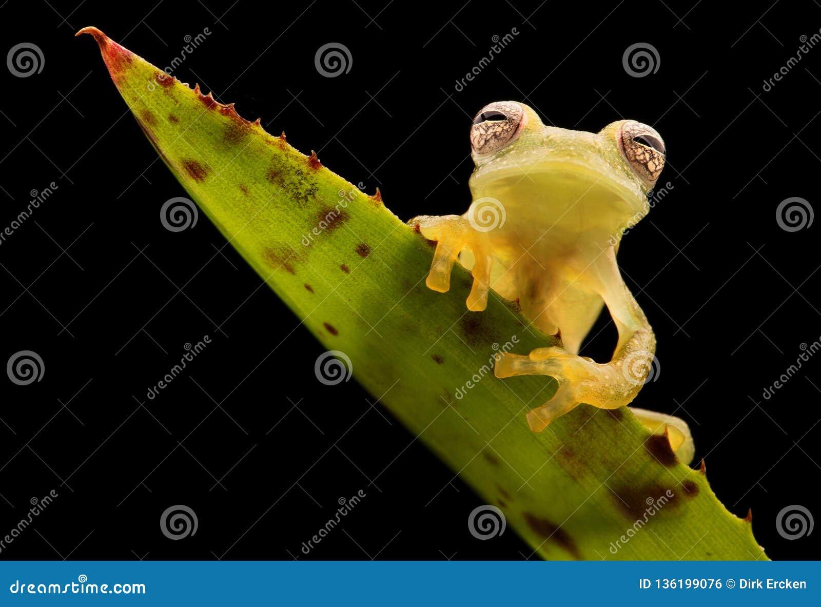Glass frog, Teratohyla pulverata