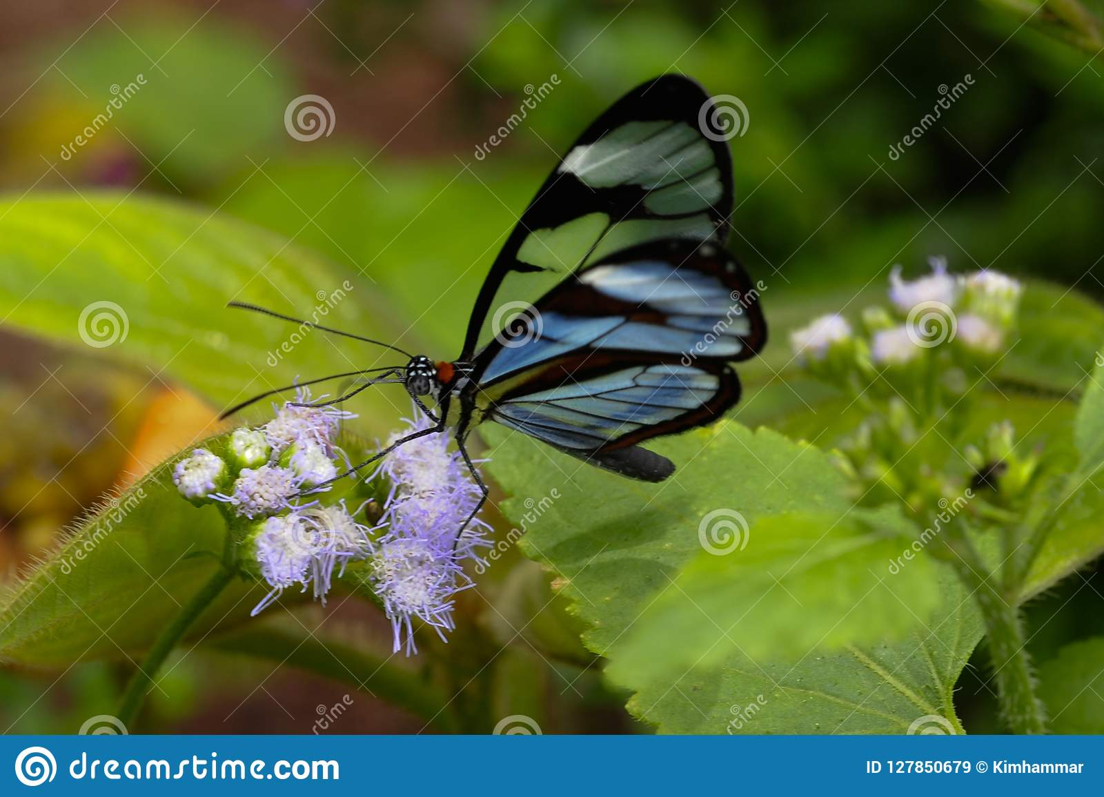 A Glasswinged Butterfly Feeds In A Costa Rican Garden Stock Image