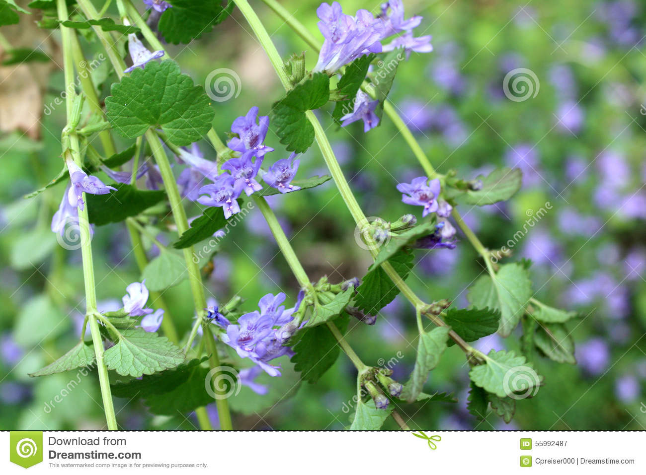 Glechoma Hederacea Creeping Charlie Stock Image