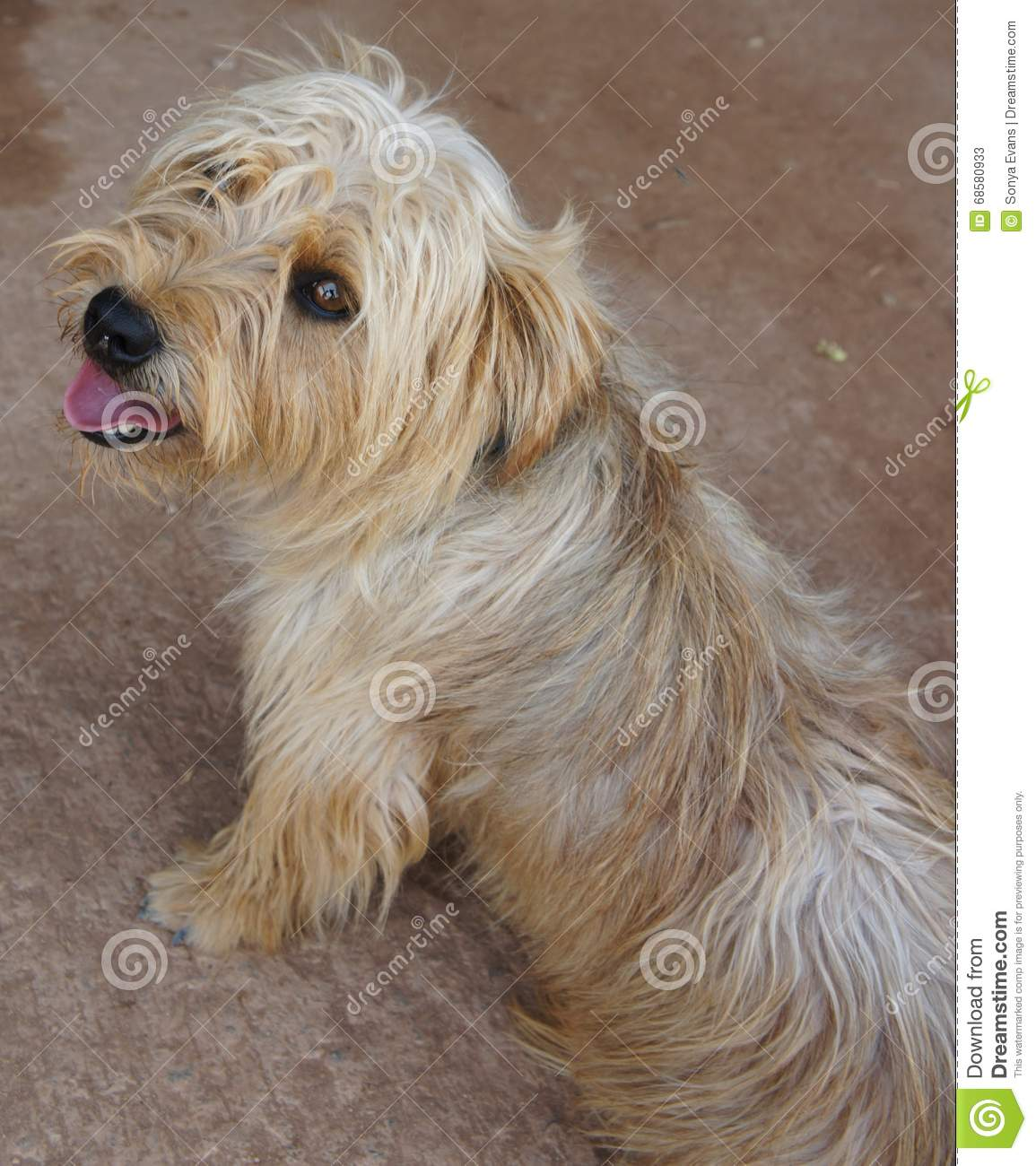 Glen of imaal terrier mixed breed dog stock image image of glen of imaal terrier mixed breed dog thecheapjerseys Image collections