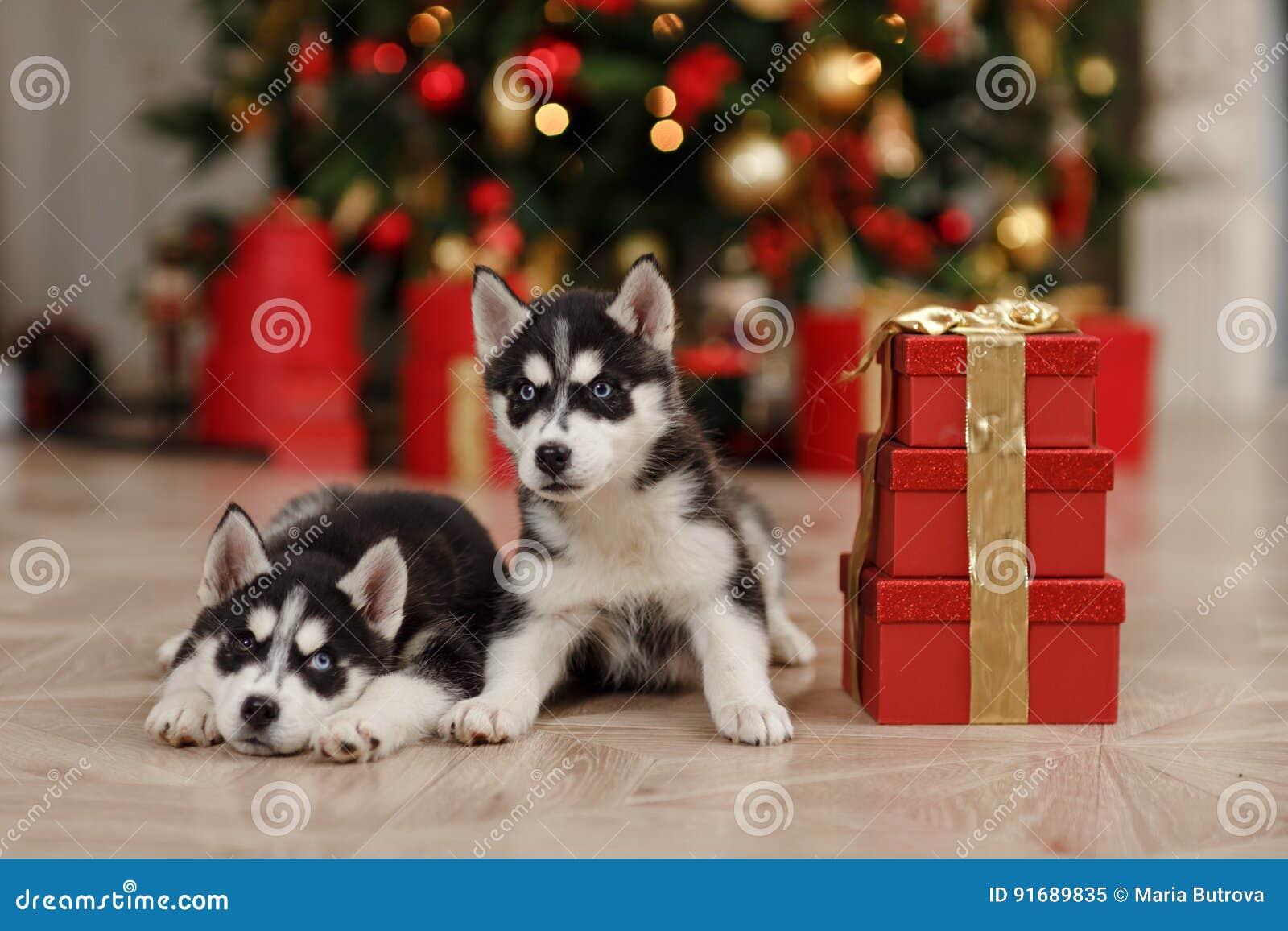 Gli alberi di Natale in bianco e nero di Husky Puppies sono dentro