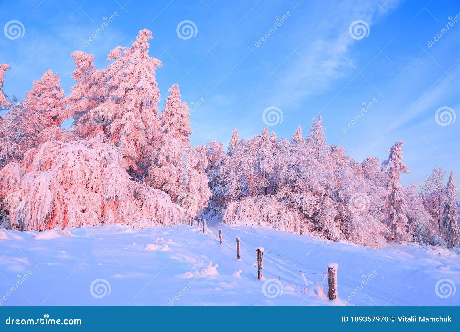 Gli alberi torti piacevoli coperti di strato spesso della neve chiariscono il tramonto colorato rosa nel bello giorno di inverno
