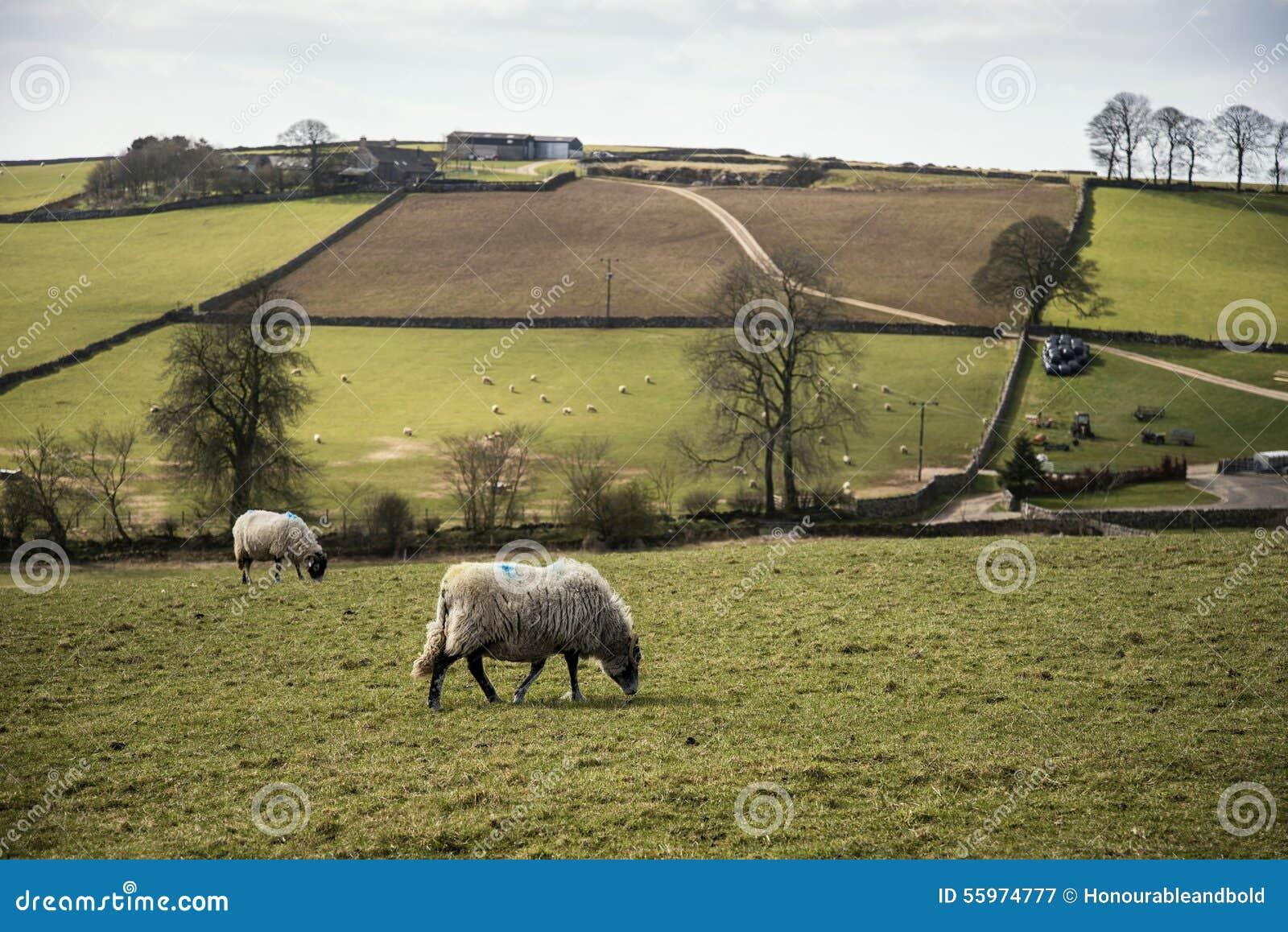 Gli animali delle pecore in azienda agricola abbelliscono - Soleggiato in inglese ...