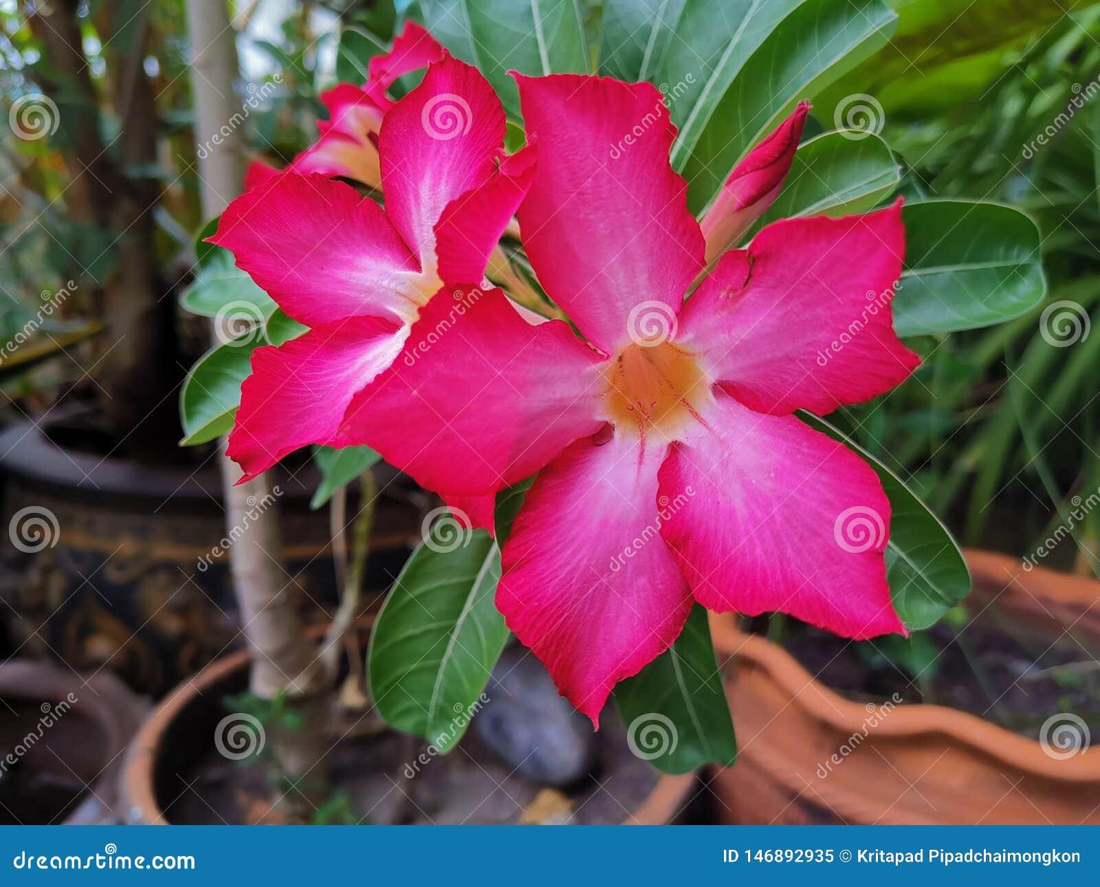 Gli ibischi rosa fioriscono il bello fondo della flora di verde dell albero del giardino
