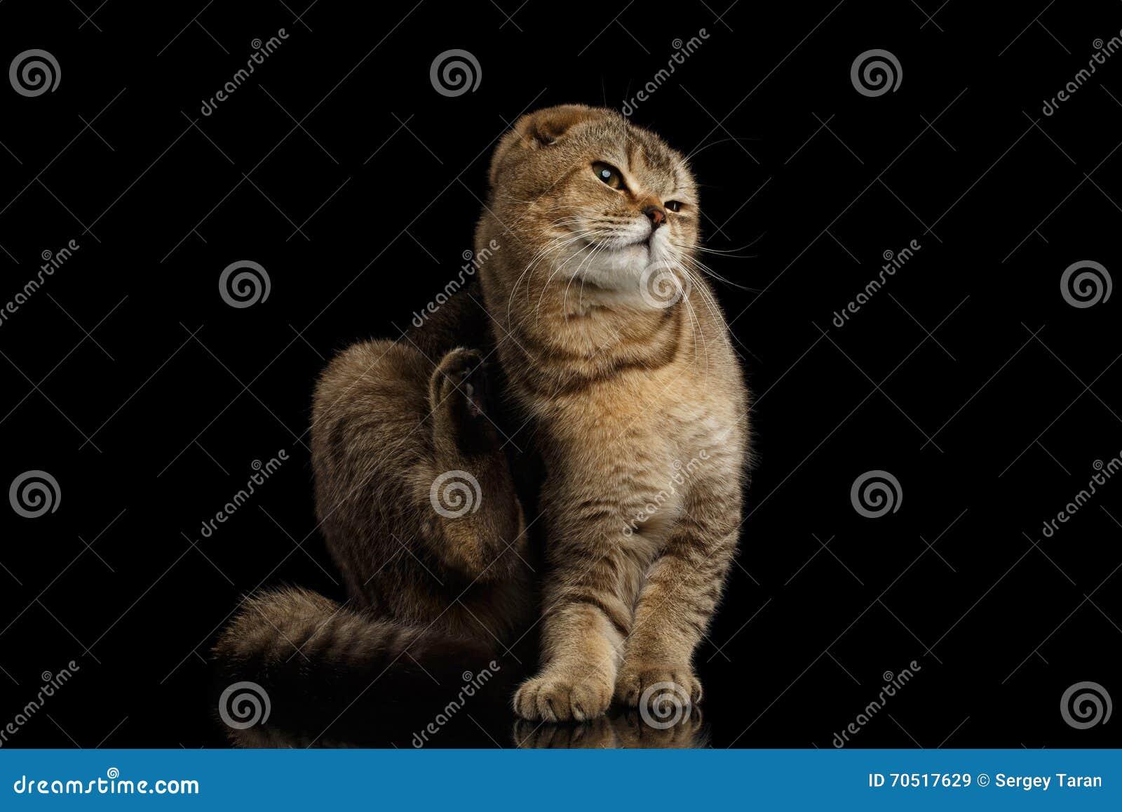 Gli Scottish piegano Cat Sitting, graffiante dietro il suo orecchio, il nero