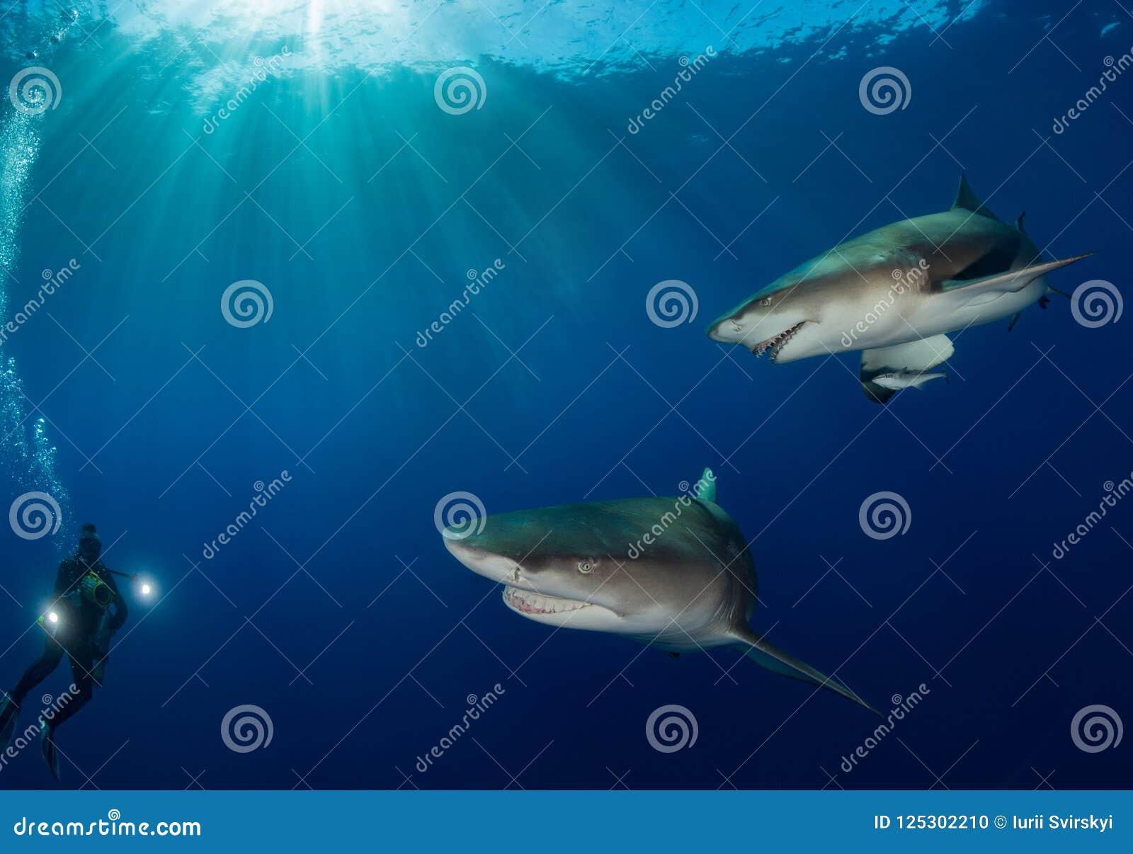 Gli squali oceanici nuotano vicino intorno al cineoperatore subacqueo sul fondo blu dell oceano