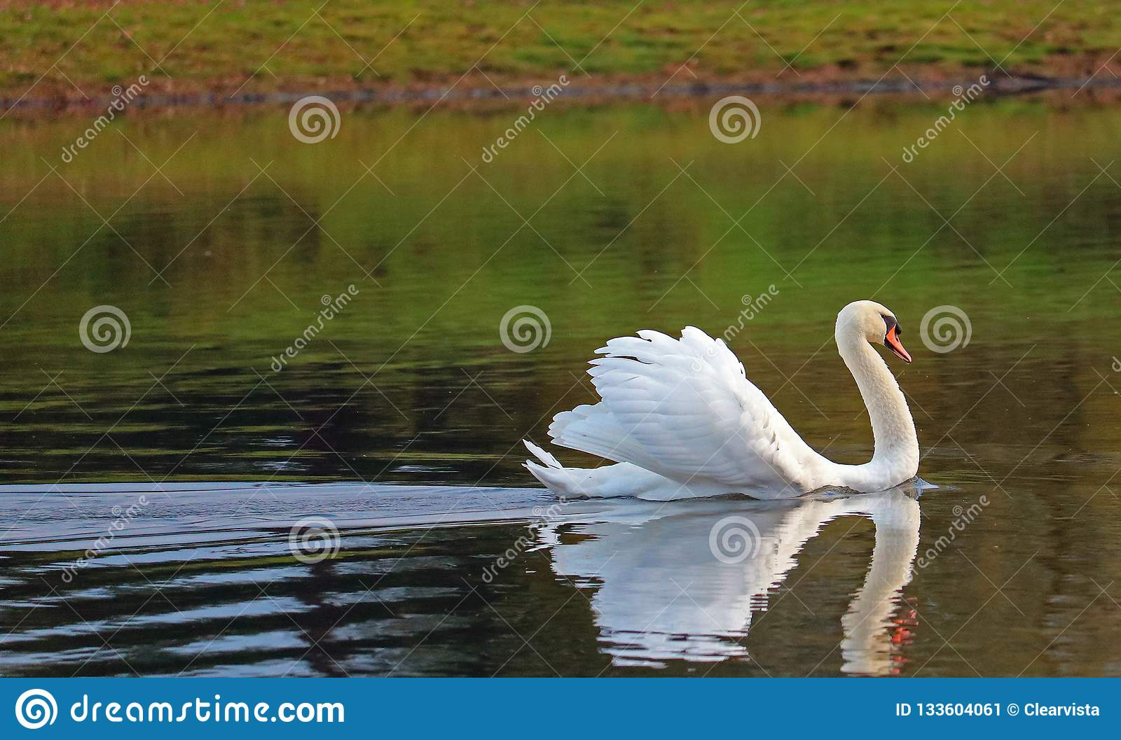 Gliding swan with feathers raised. Displaying.