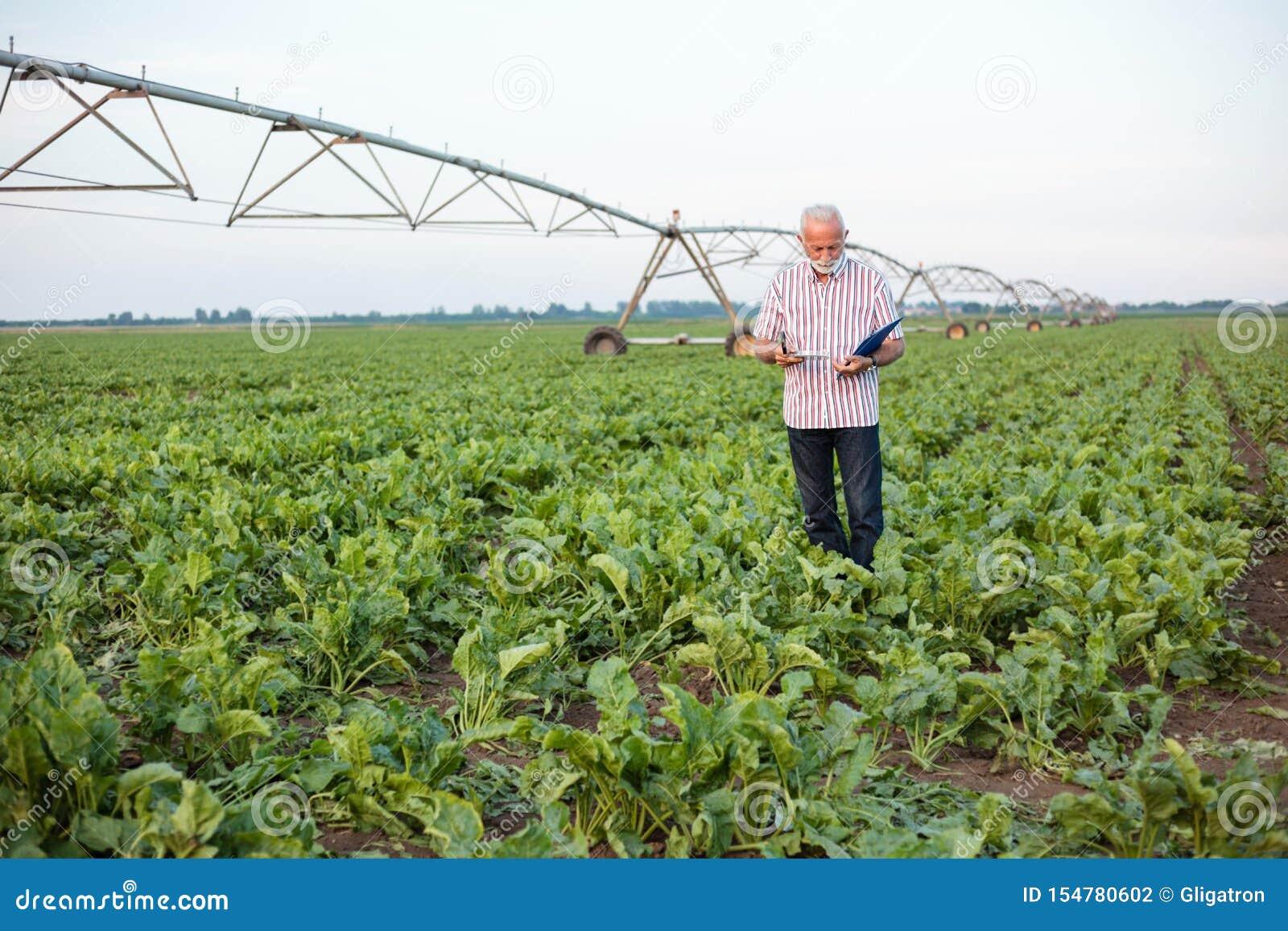 Glimlachende grijze haired hogere agronoom of landbouwer die en grondsteekproeven op een soja of suikerbietgebied nemen onderzoek