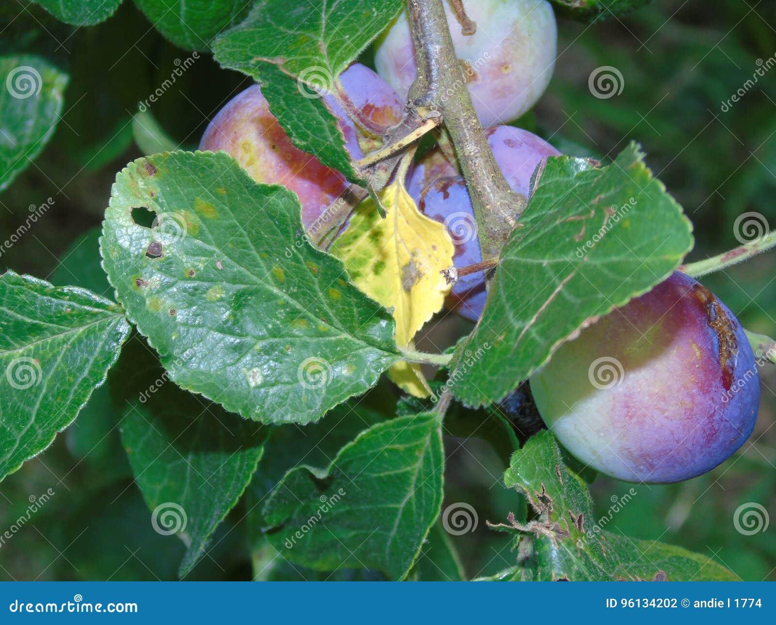 Glistening berrie in Hertfordshire Parkland