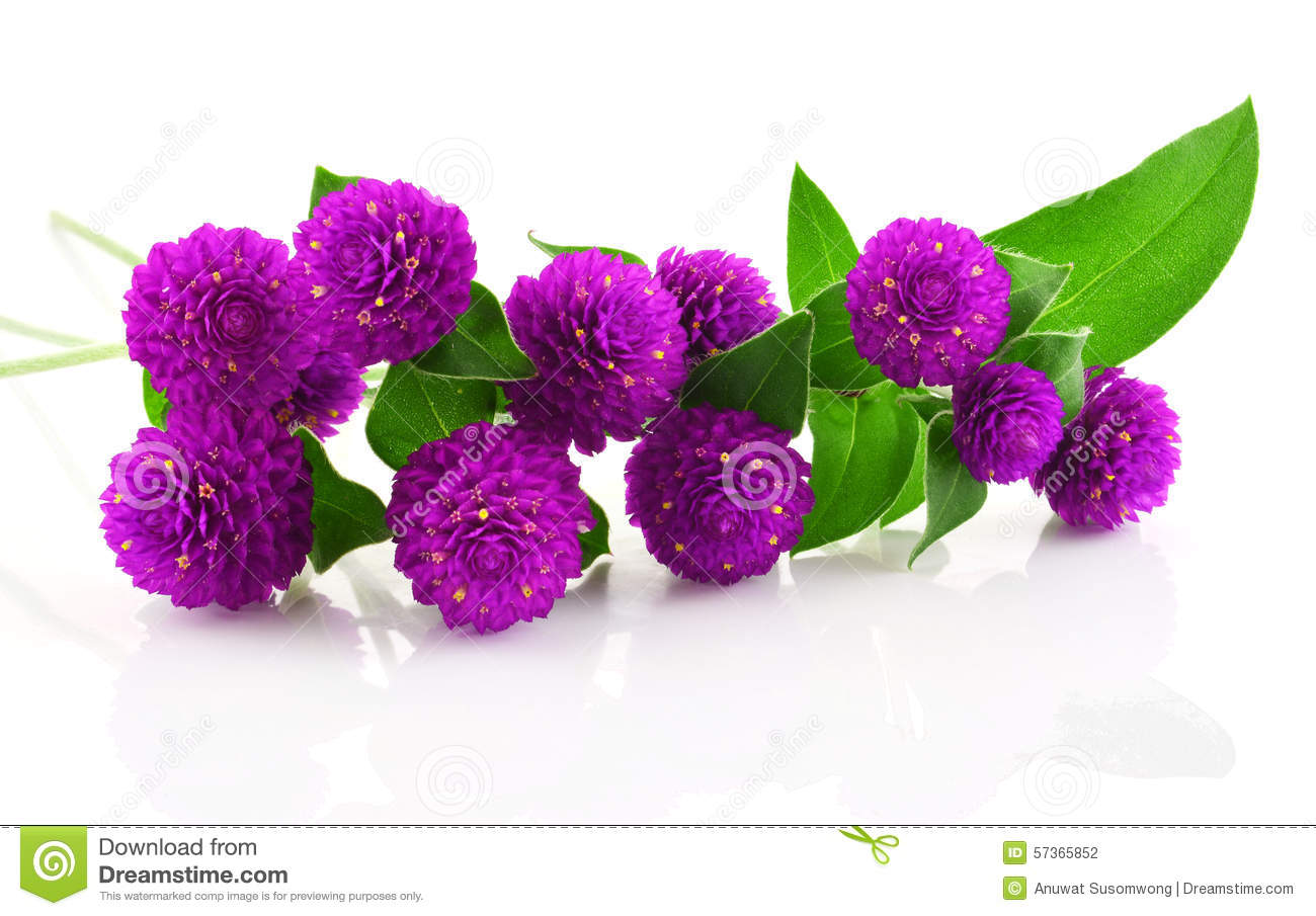 globe amaranth beauty flower in white background. stock photo, Beautiful flower