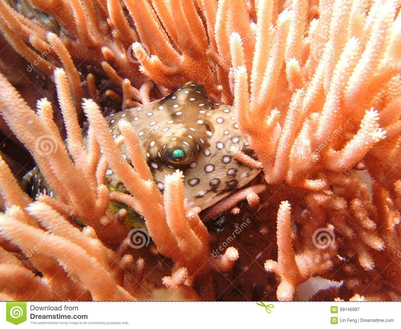 A globefish hiding in the coral