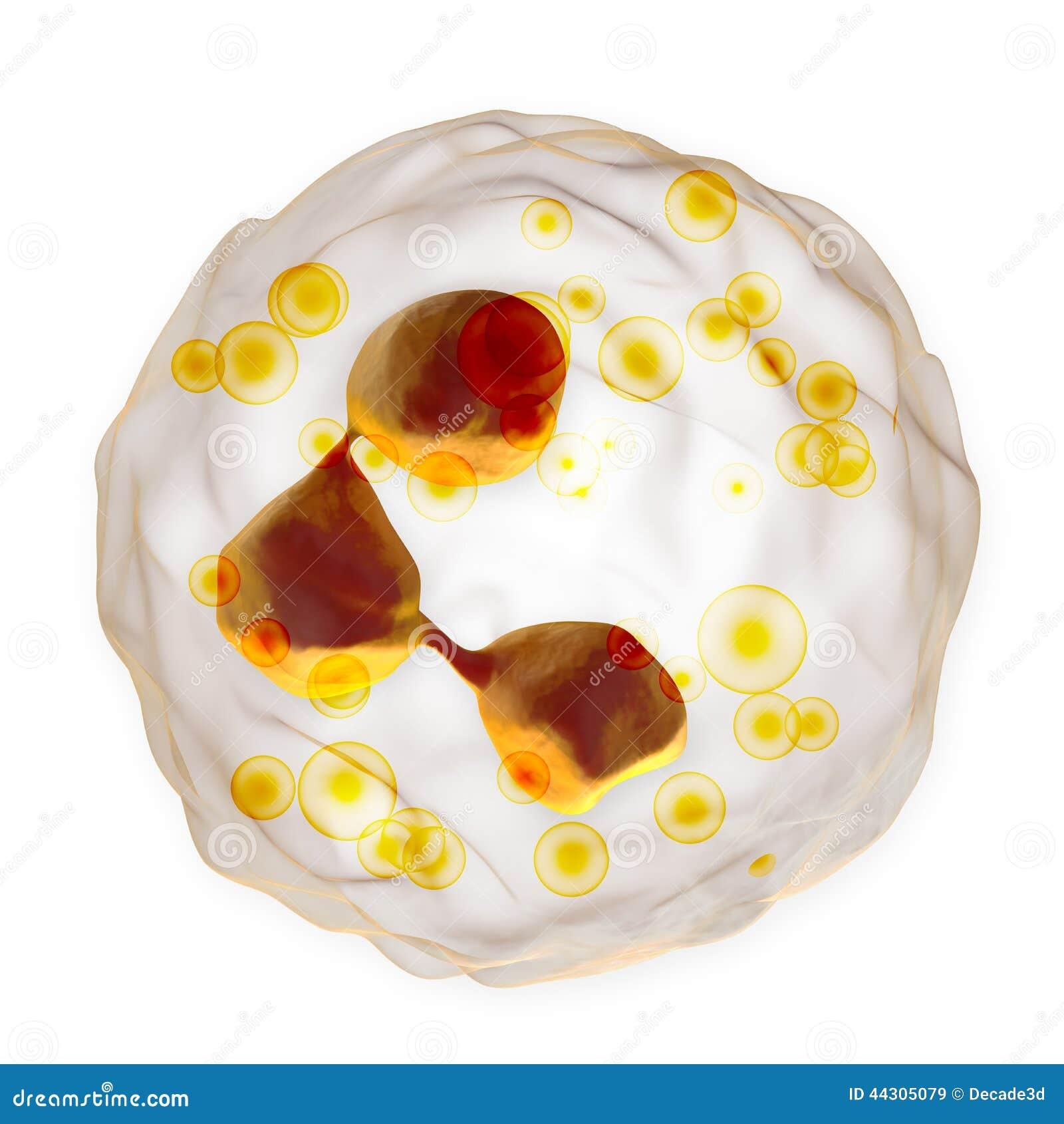 Globule blanc - neutrophile