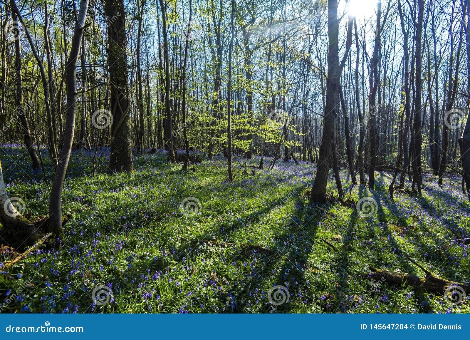Glockenblumen im Vorderholz, Crowhurst, East Sussex, England