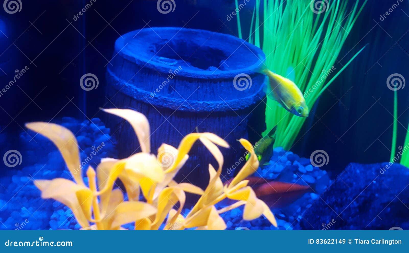 Glofish, fish tank