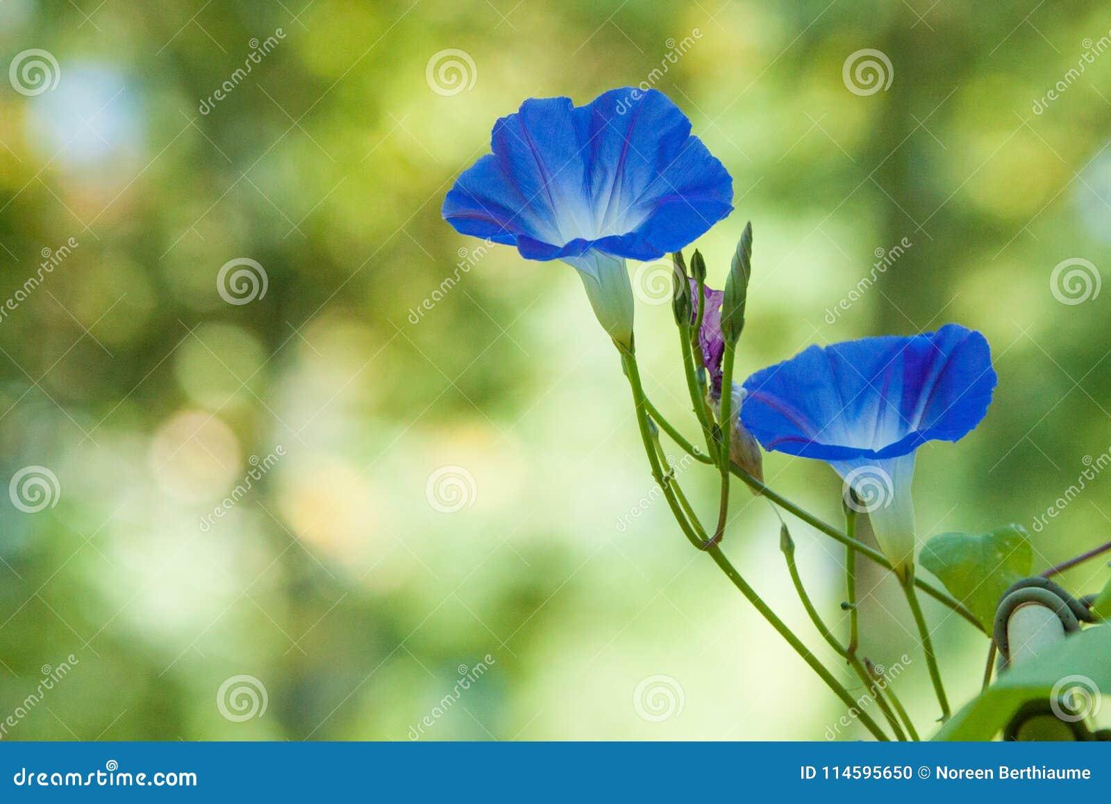 Gloires de matin bleues avec le fond vert