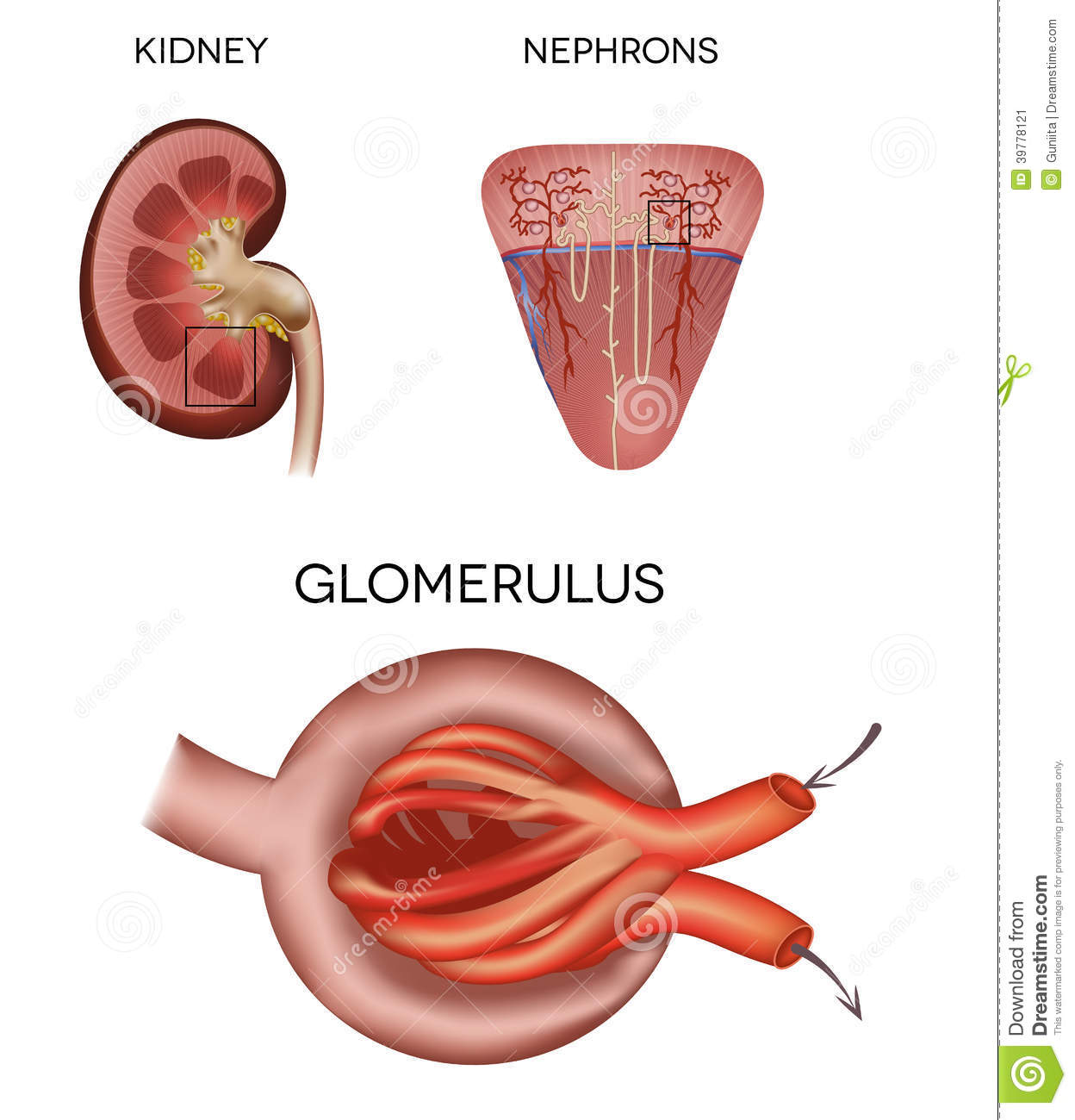 Glomerulus A Part Of The Kidney Stock Vector Image 39778121