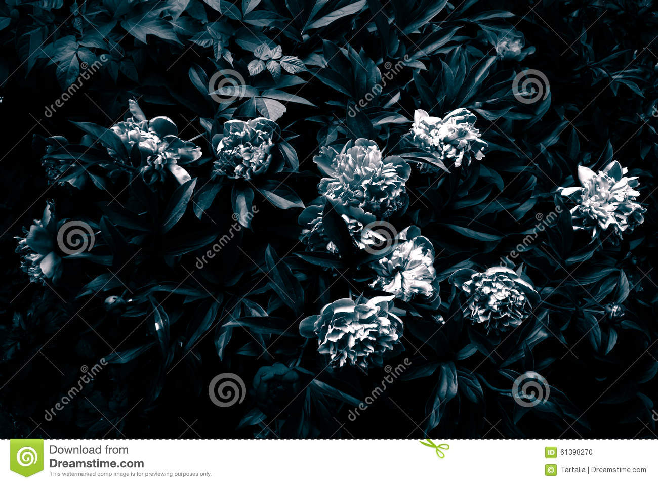 Gloomy peony in black and white stock photo image of florals download gloomy peony in black and white stock photo image of florals somber m4hsunfo
