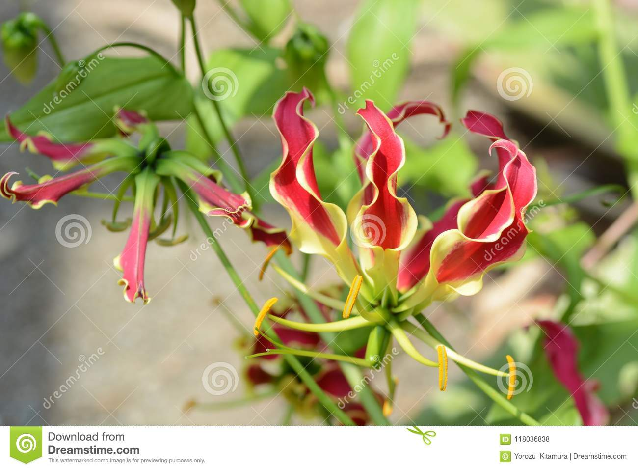 Glory lily stock photo image of glory botanical natural 118036838 glory lily izmirmasajfo