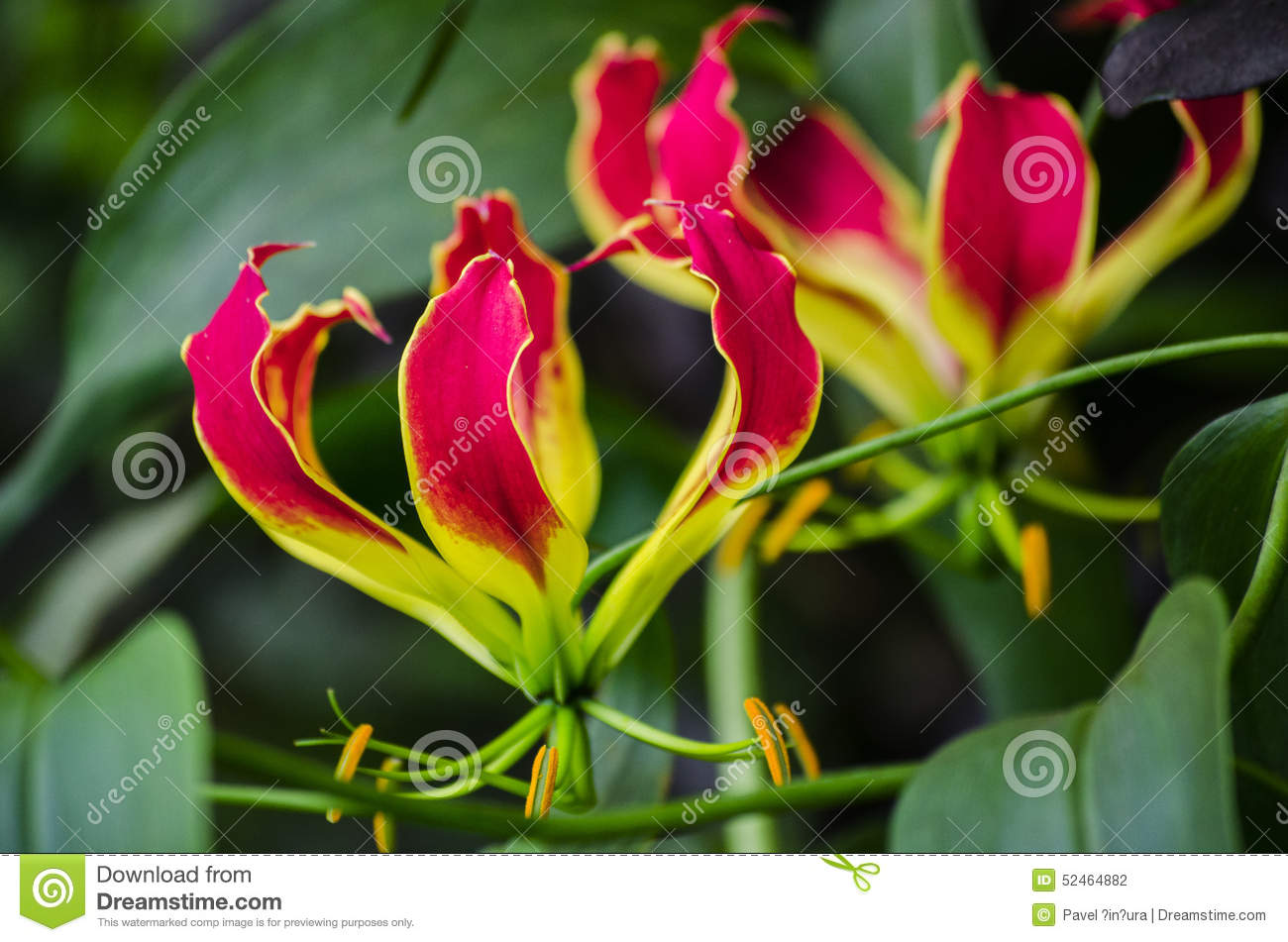 Glory lily stock photo image of petals color flower 52464882 glory lily izmirmasajfo