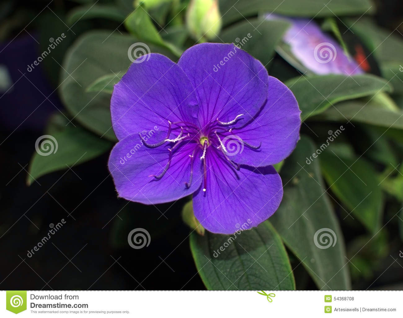 Glorybush Purple Flower Stock Image