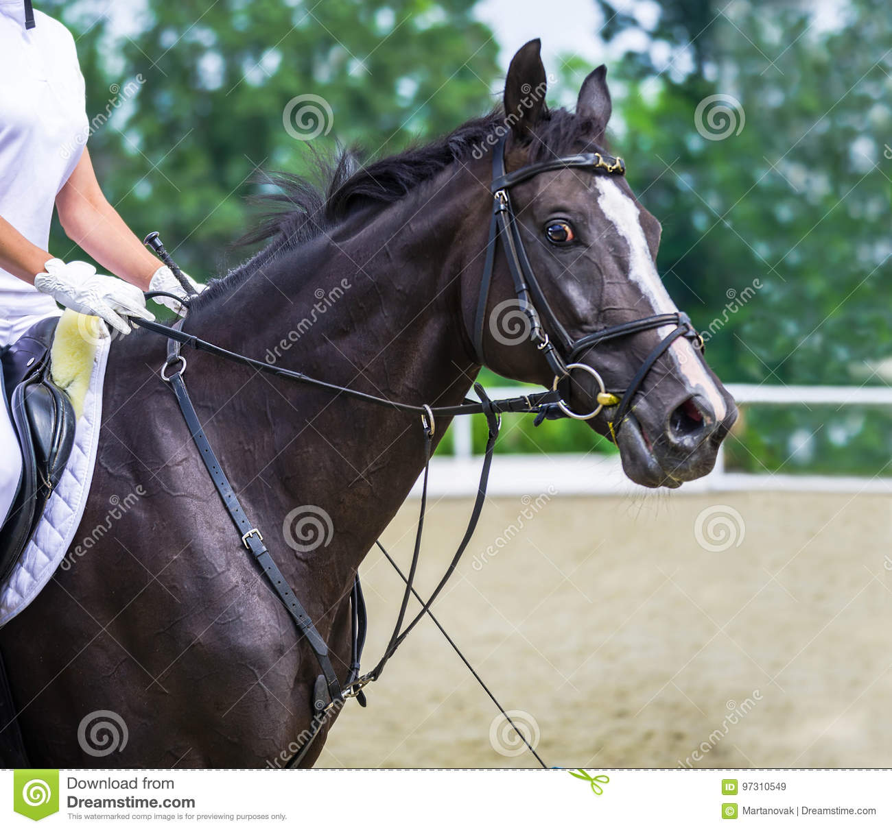 Glossy Black Horse Portrait During Dressage Competition Show Jumping Surfaces Stock Image Image Of Jumping Human 97310549