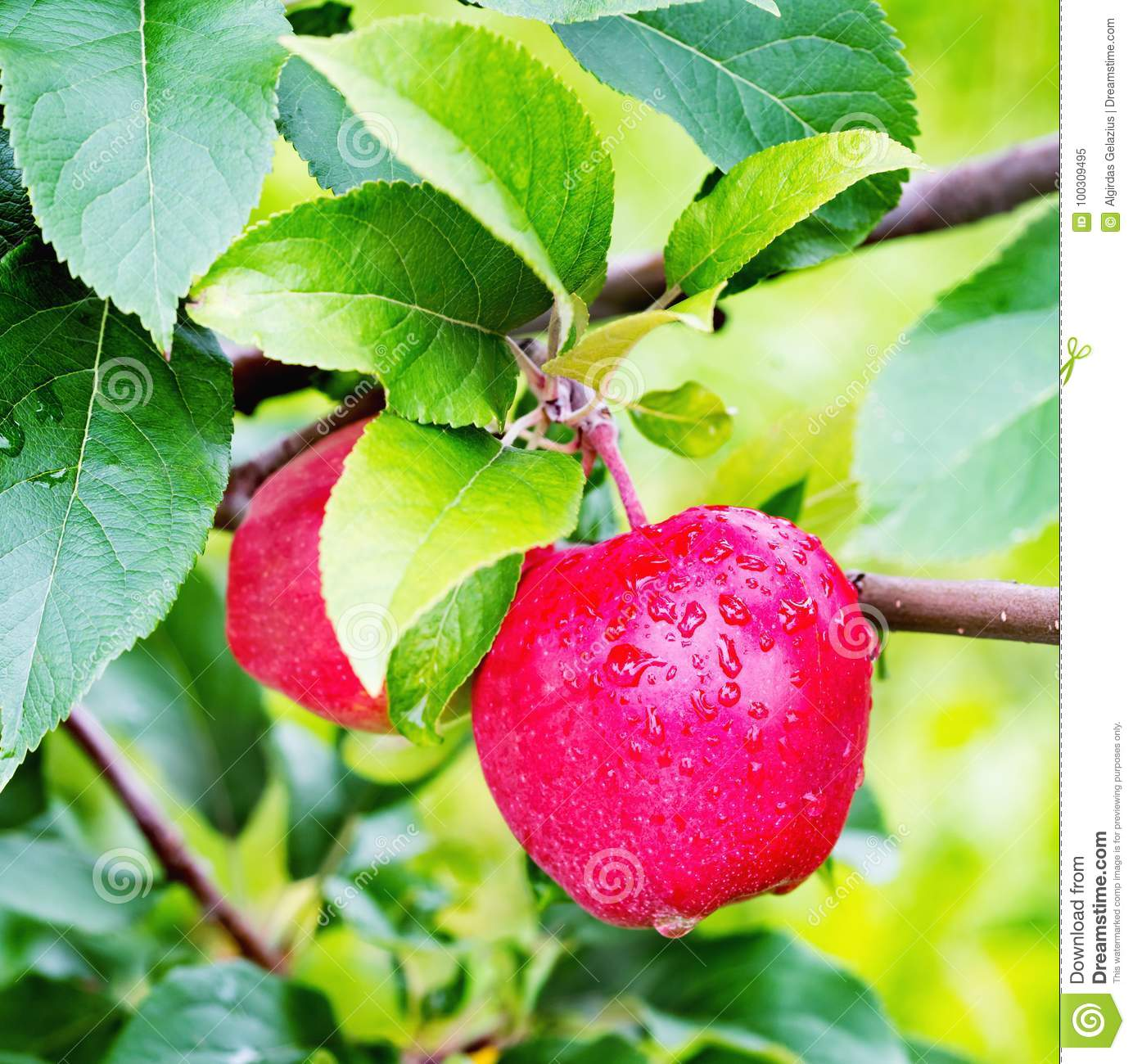 Apple tree gloster: a description of the variety, photo