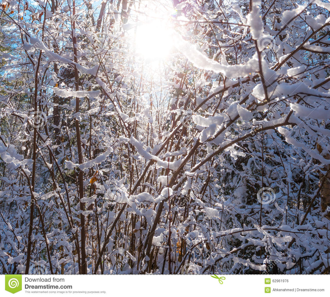 glowing winter sun through snow covered bush branches. Black Bedroom Furniture Sets. Home Design Ideas