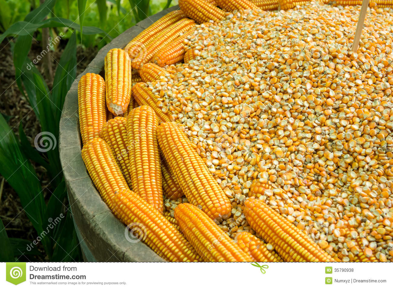 seed corn industry essay And seed companies, the environmental impacts of the technology, and the  potential  1604 bushels of bt corn per field, while crops grown from non-gm  seeds.
