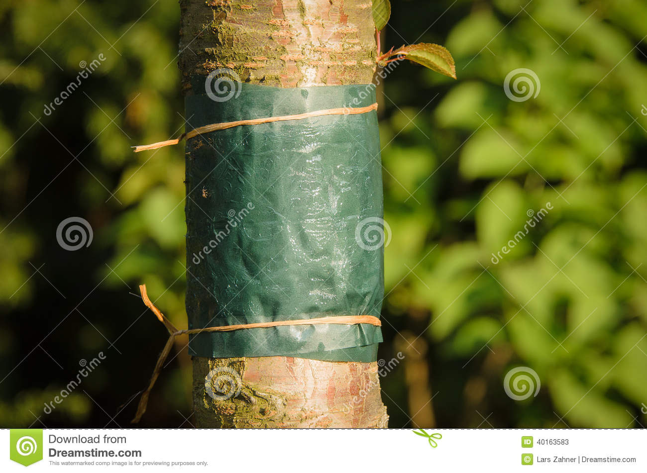 glue band tied around the trunk of a tree stock photo