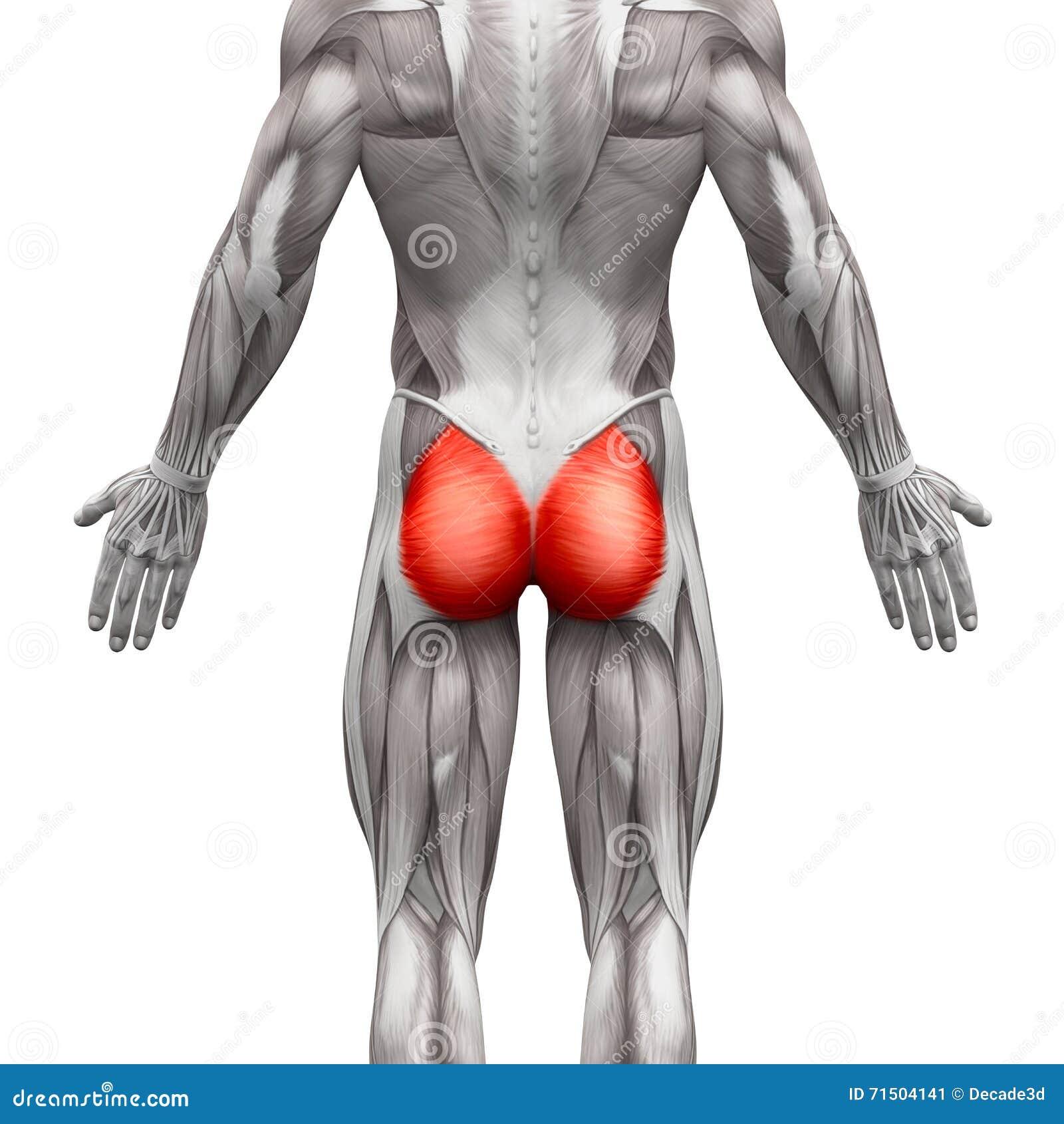 Gluteal Muskeln/Gluteus Maximus - Anatomie-Muskeln An Lokalisiert ...