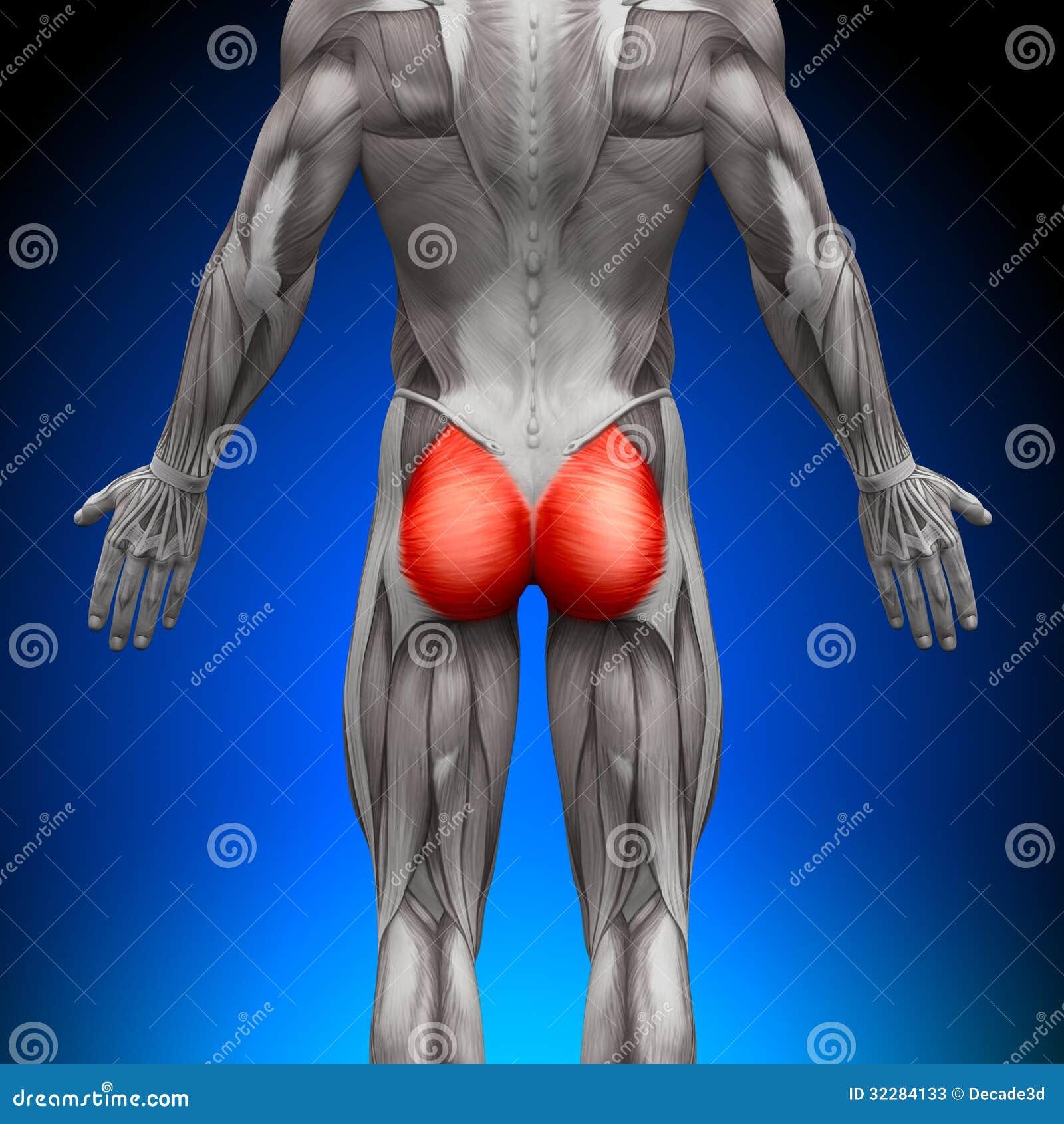 Glutes / Gluteus Maximus - Anatomy Muscles Stock Illustration ...