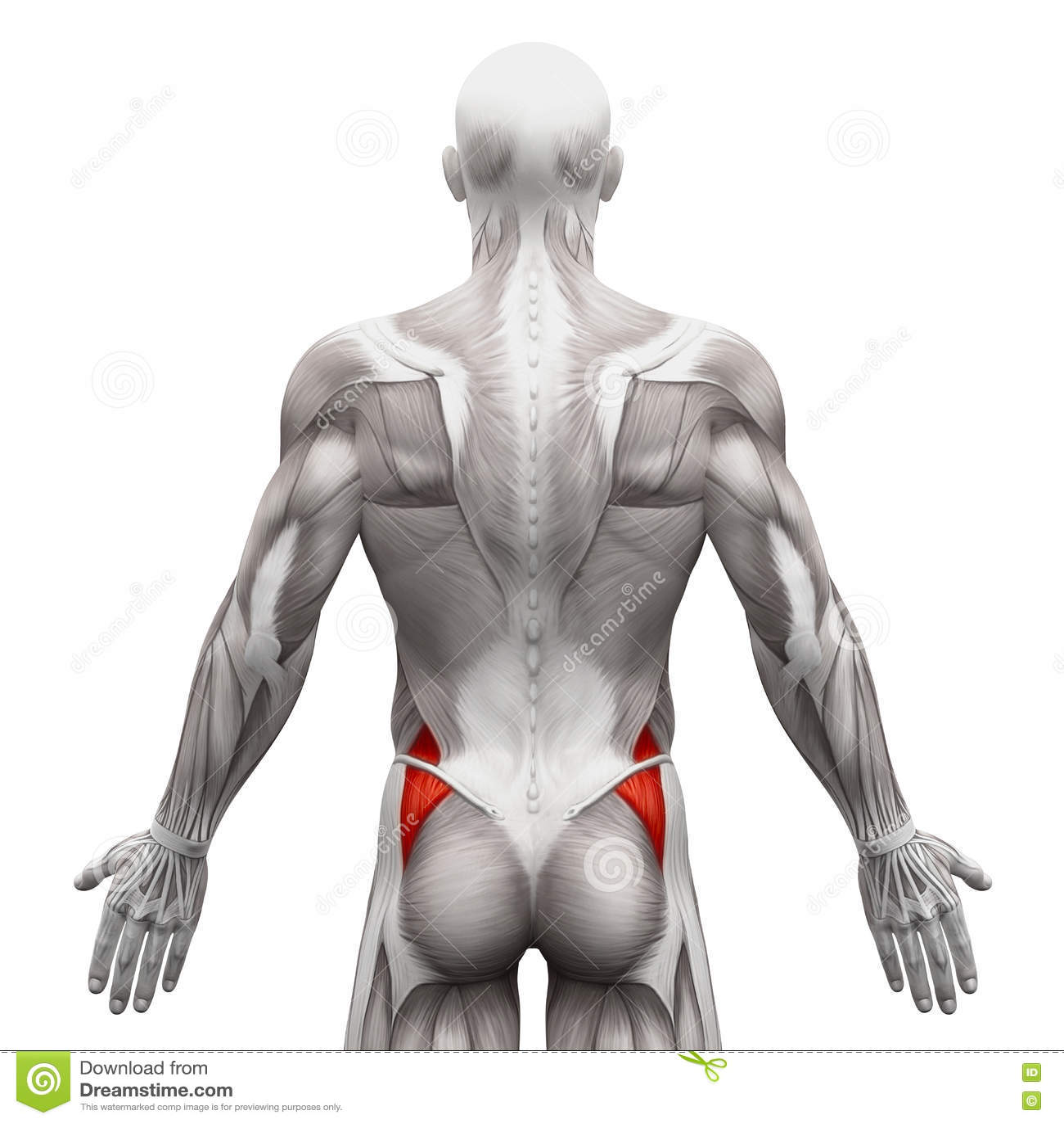 Gluteus Medius - μυ ες ανατομίας που απομονώνονται στο λευκό - τρισδιάστατο illustra