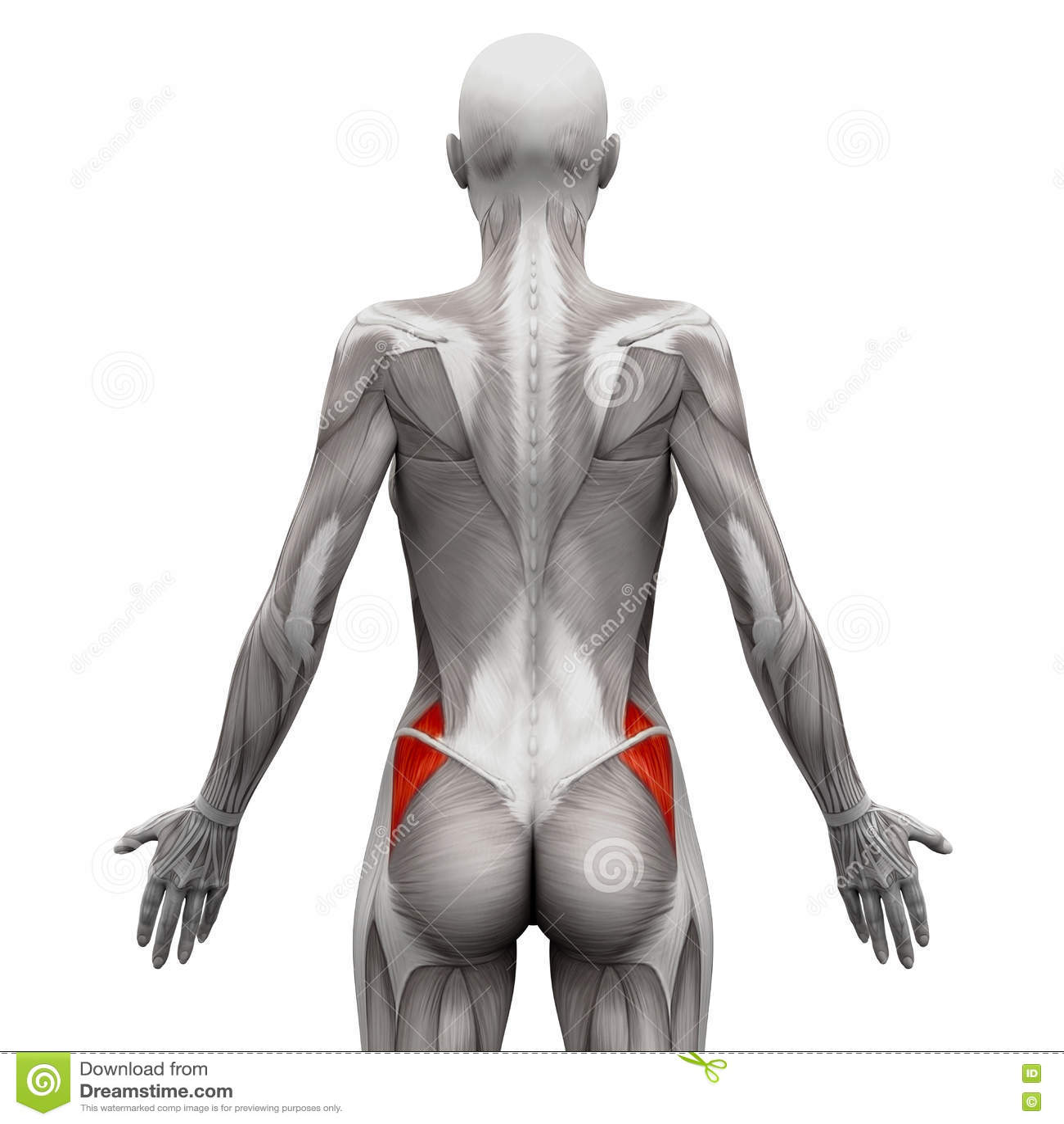 Gluteus Medius - Anatomie-Muskeln lokalisiert auf weiß- illustra 3D
