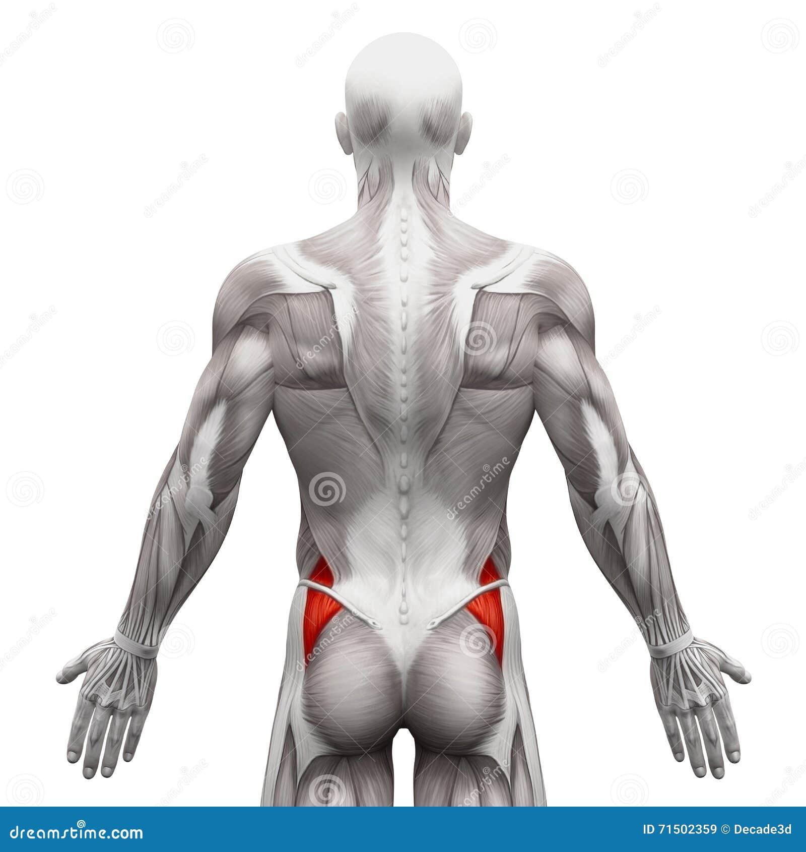 Gluteus Medius - Anatomiespieren op wit worden geïsoleerd - 3D illustra die