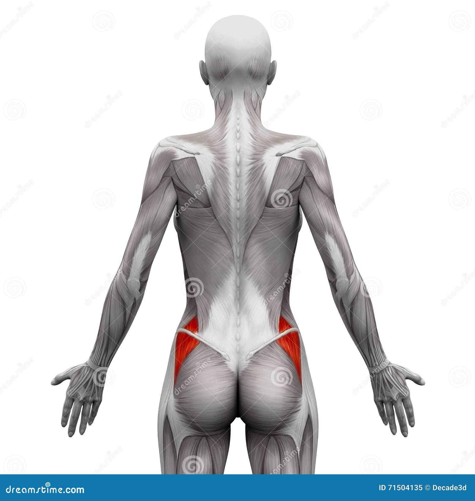 Gluteus Medius 3D illustra - anatomia mięśnie odizolowywający na bielu -