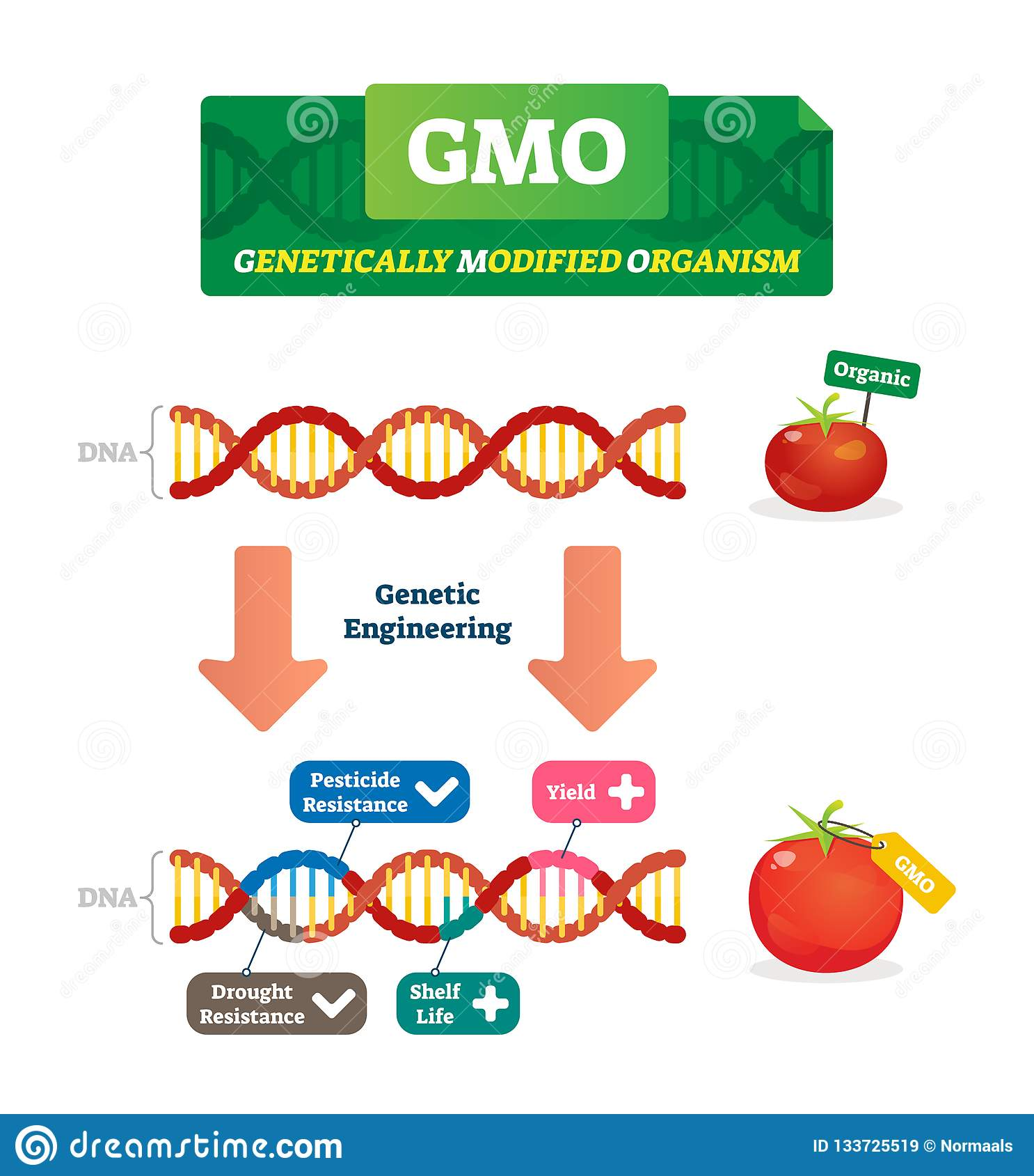 gmo vector illustration  organic and modified agricultural plants scheme
