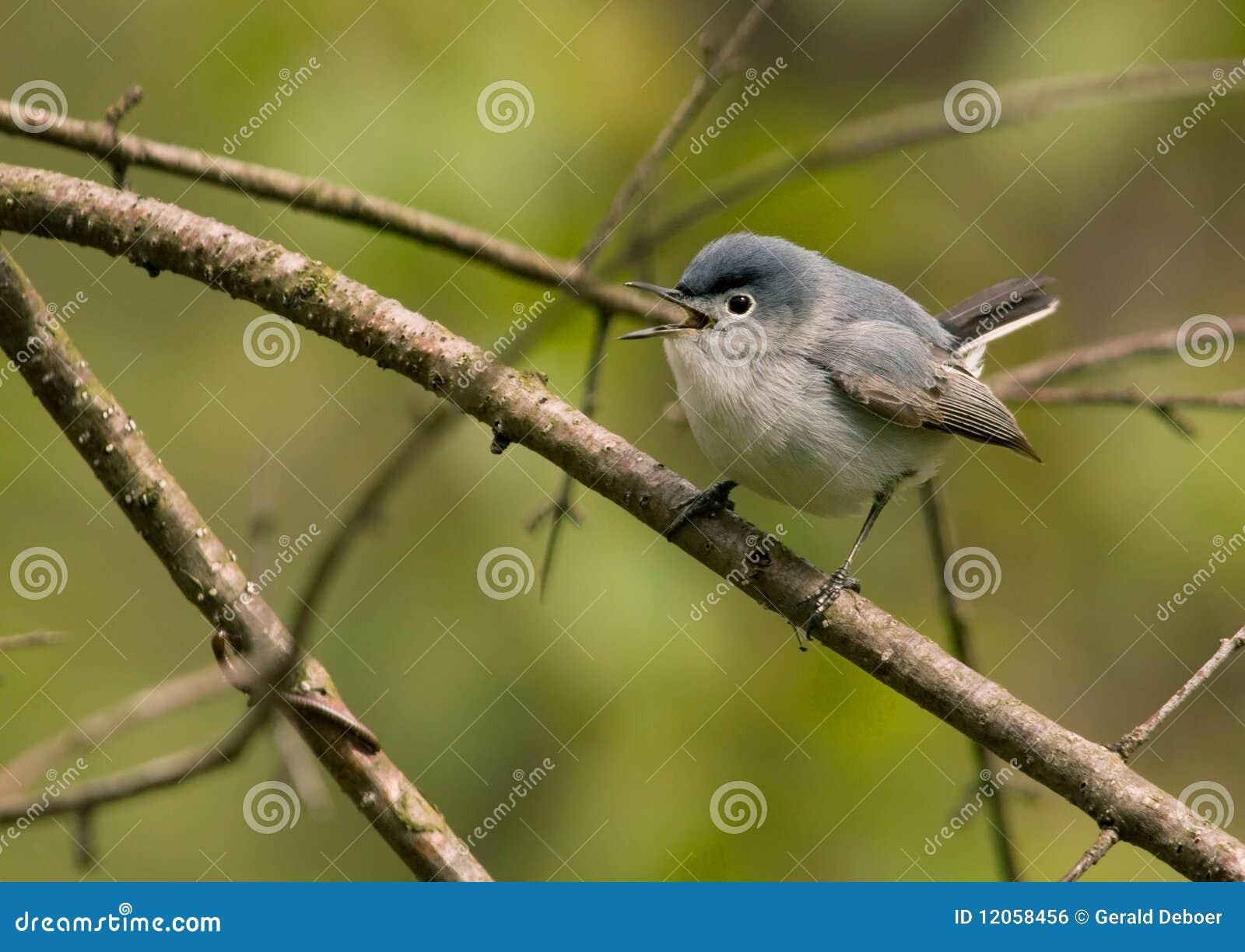 Gnatcatcher Azul-cinzento