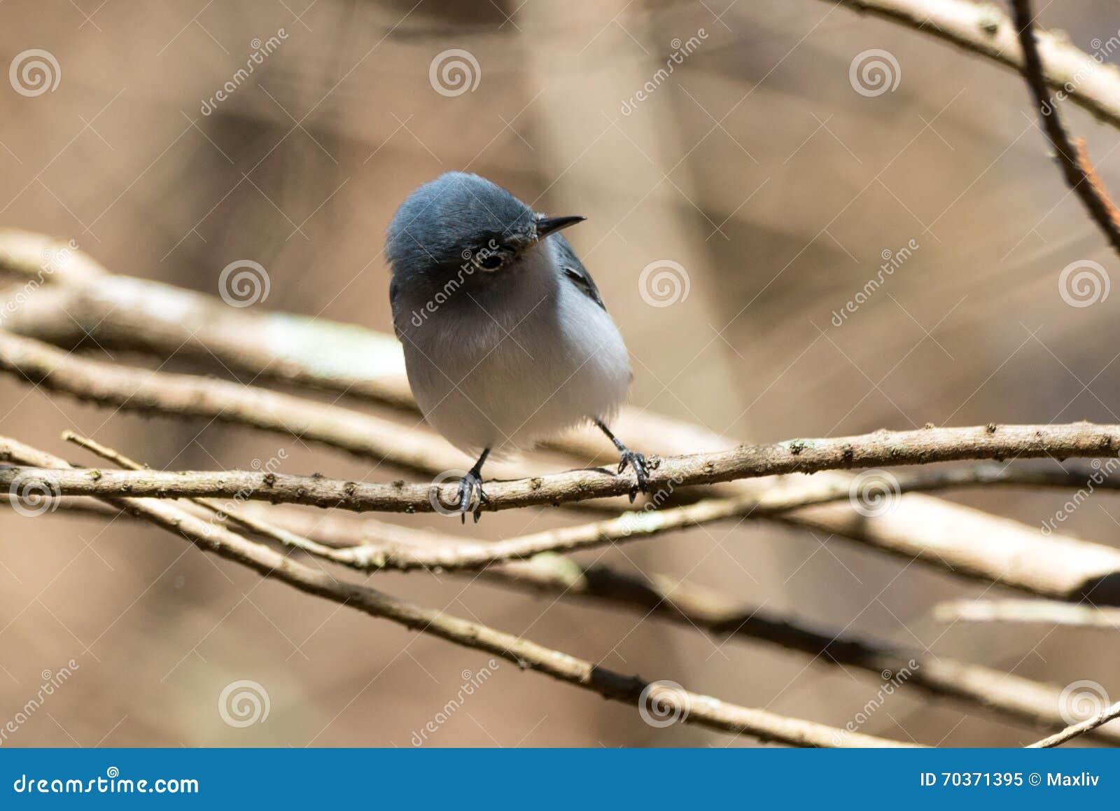 Gnatcatcher Bleu-gris (caerulea de Polioptila)