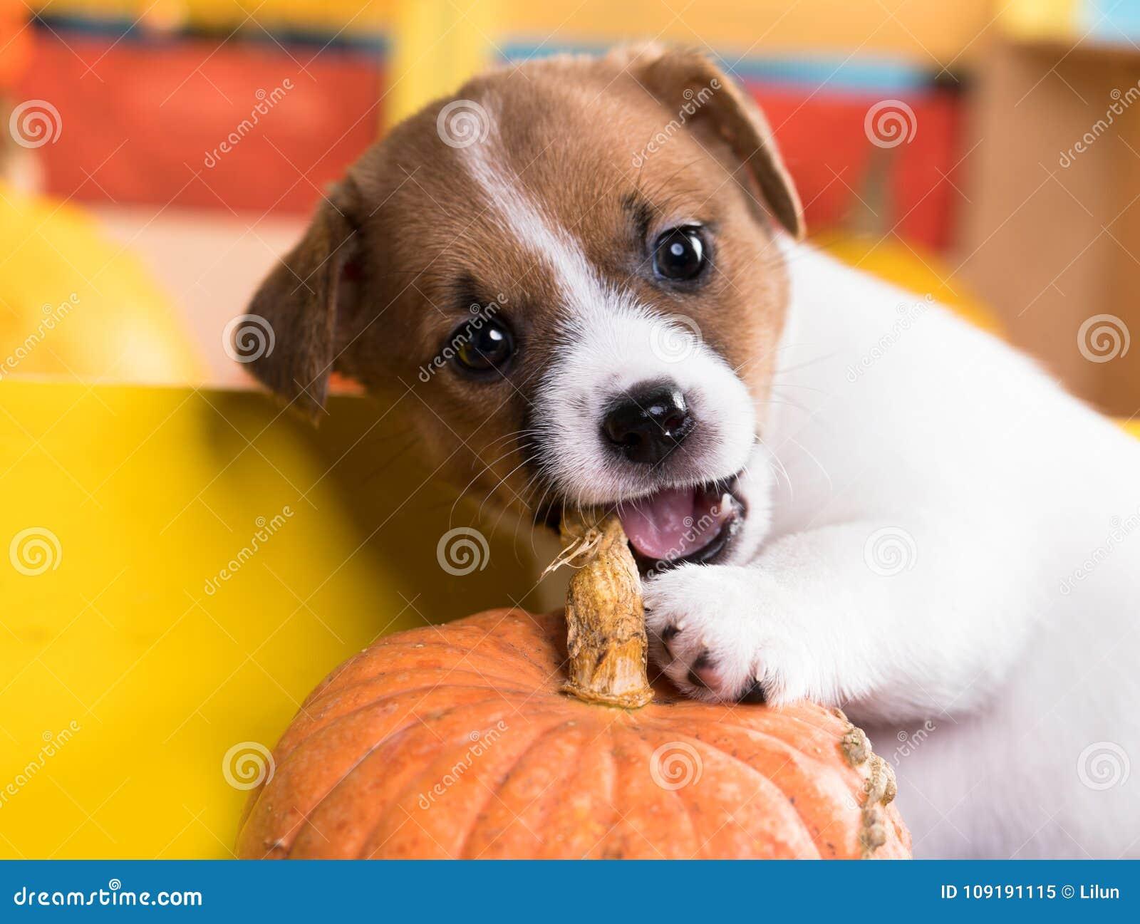 Gnaws pumpkin puppy