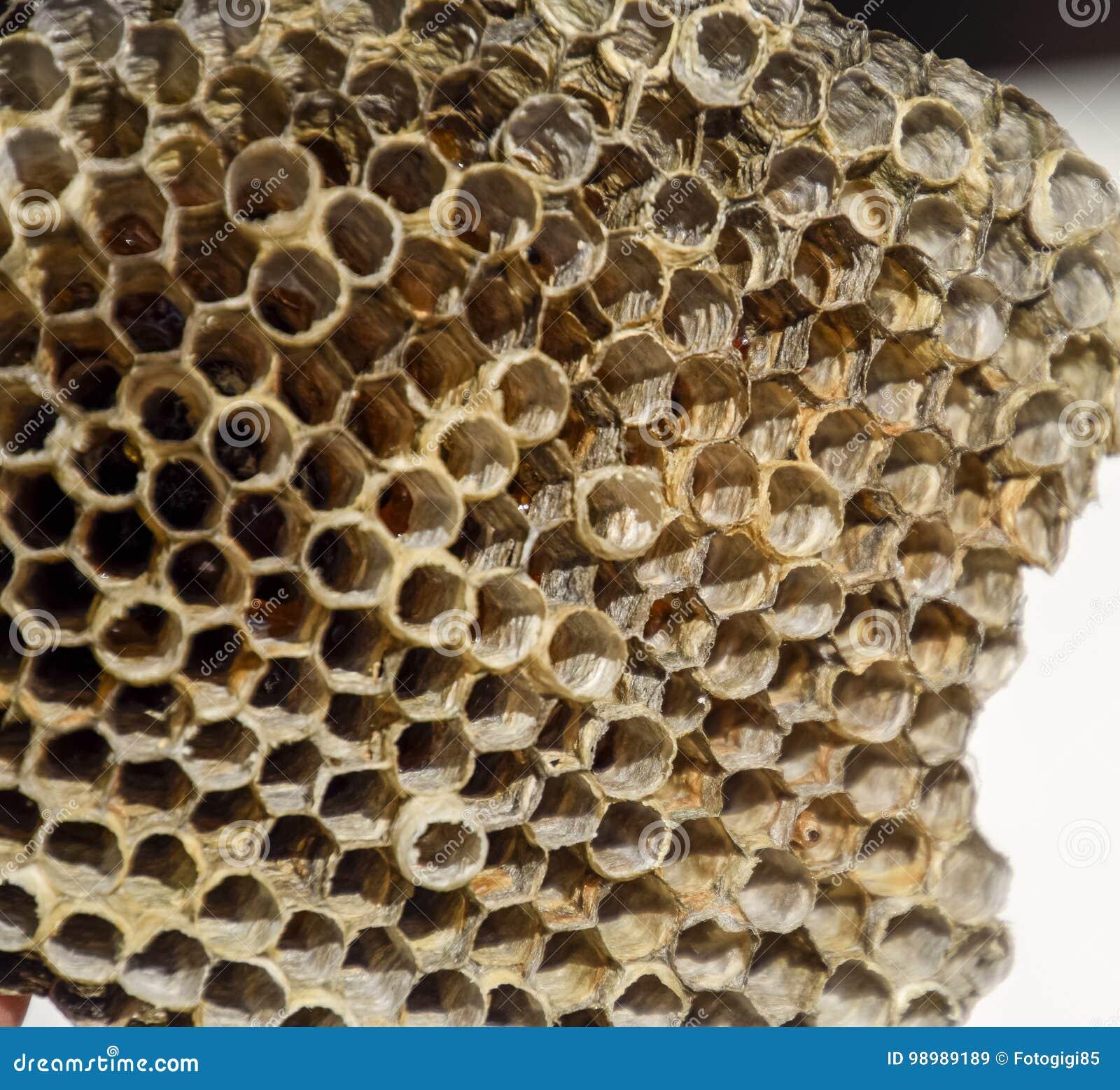 Gniazdeczko jest osikowy przy końcówką lęgowy sezon, polist osikowy gniazdeczko Zapasy miód w honeycombs Osikowy miód Vespa