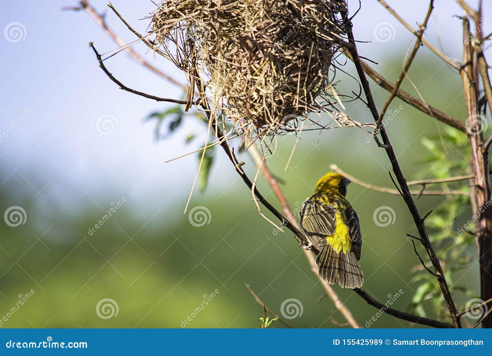 Gniazdeczko ptaki i Złoty wróbli hypoxanthus na gałąź tła zieleni ptaka lub Ploceus opuszcza