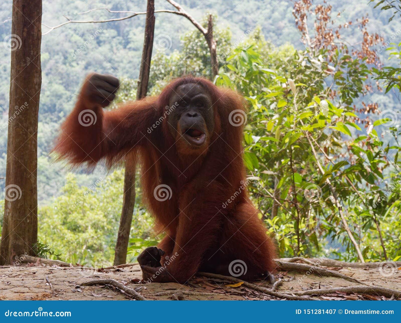 Gniewna Orang Utan Sumatra dżungla